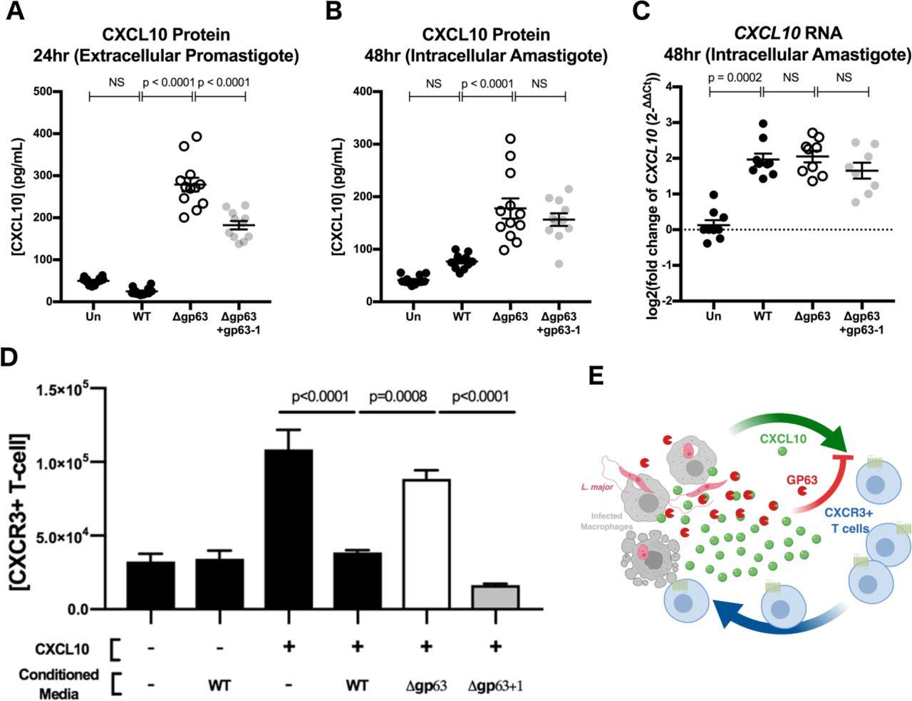 Pathogen evasion of chemokine response through suppression of CXCL10