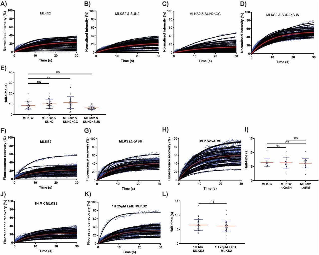 The Maize LINC KASH AtSINE-like2 (MLKS2) gene encodes an ARM