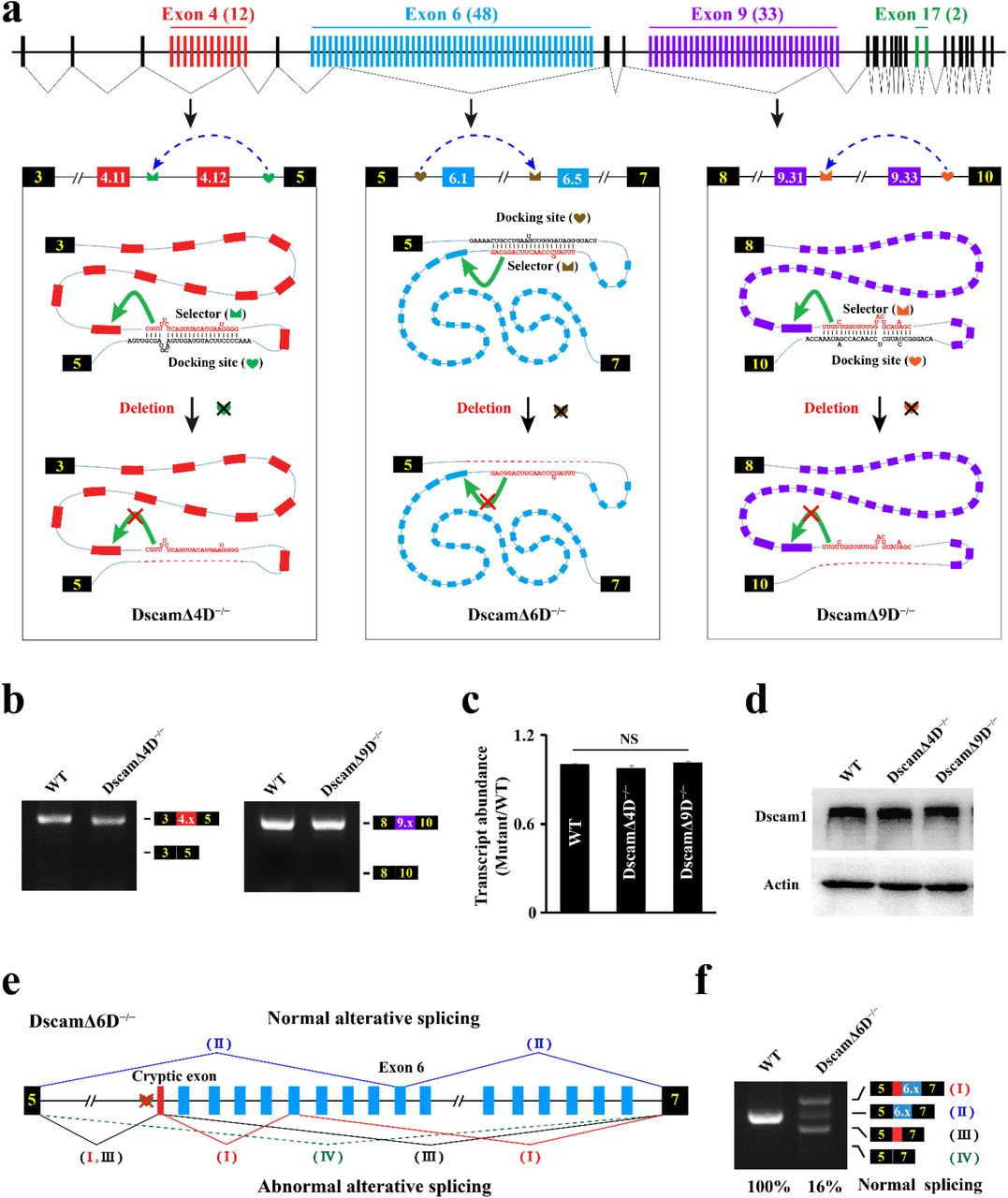 Intron Targeted Mutagenesis Reveals Roles For Dscam1 Rna Pairing