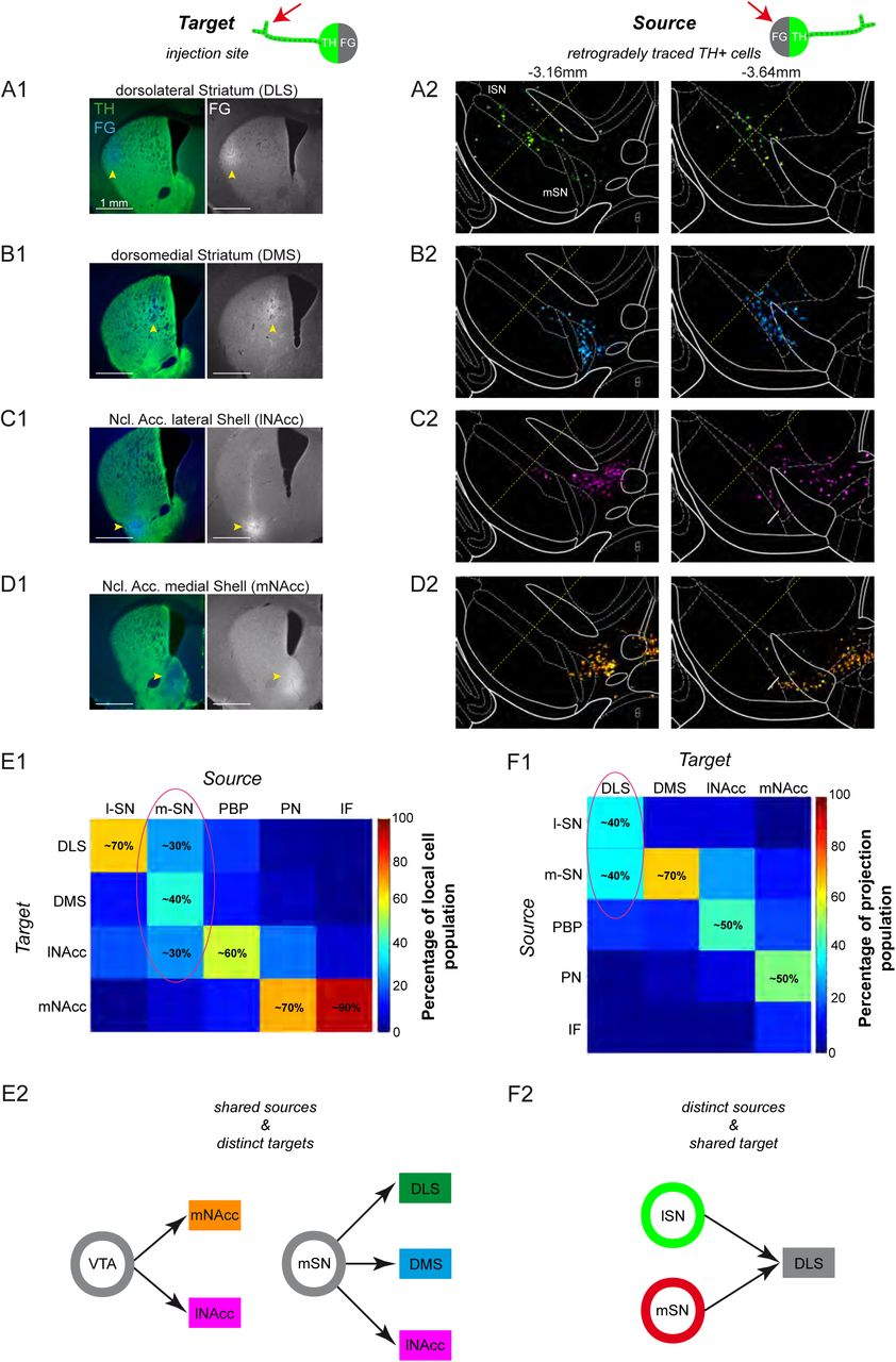 In vivo functional diversity of midbrain dopamine neurons within