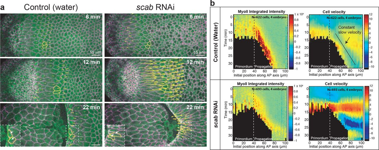 Transcriptional induction and mechanical propagation of a