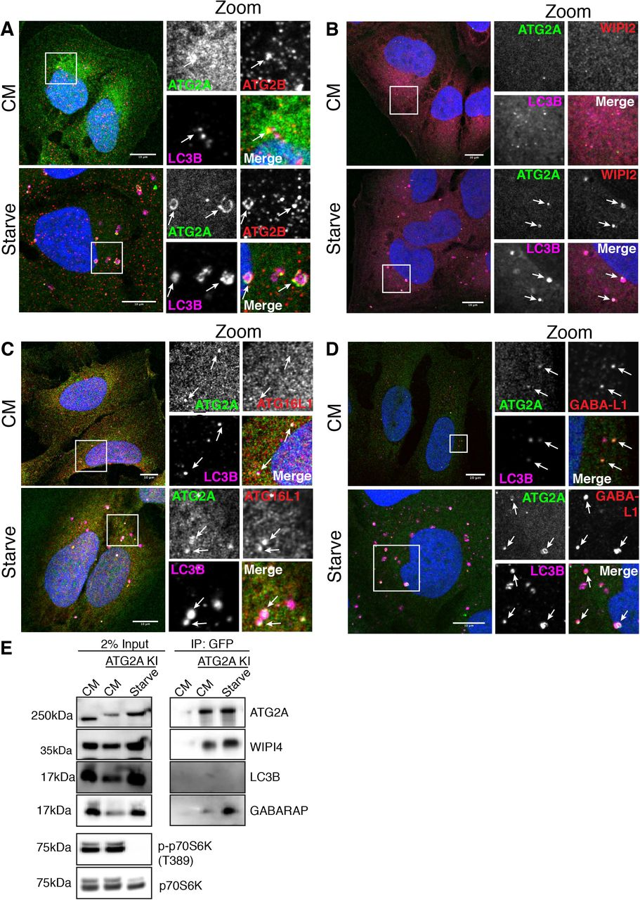 A conserved ATG2-GABARAP interaction is critical for