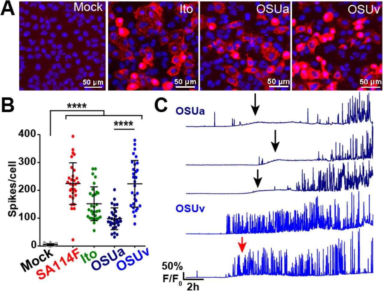 Rotavirus Calcium Dysregulation Manifests as Dynamic Calcium
