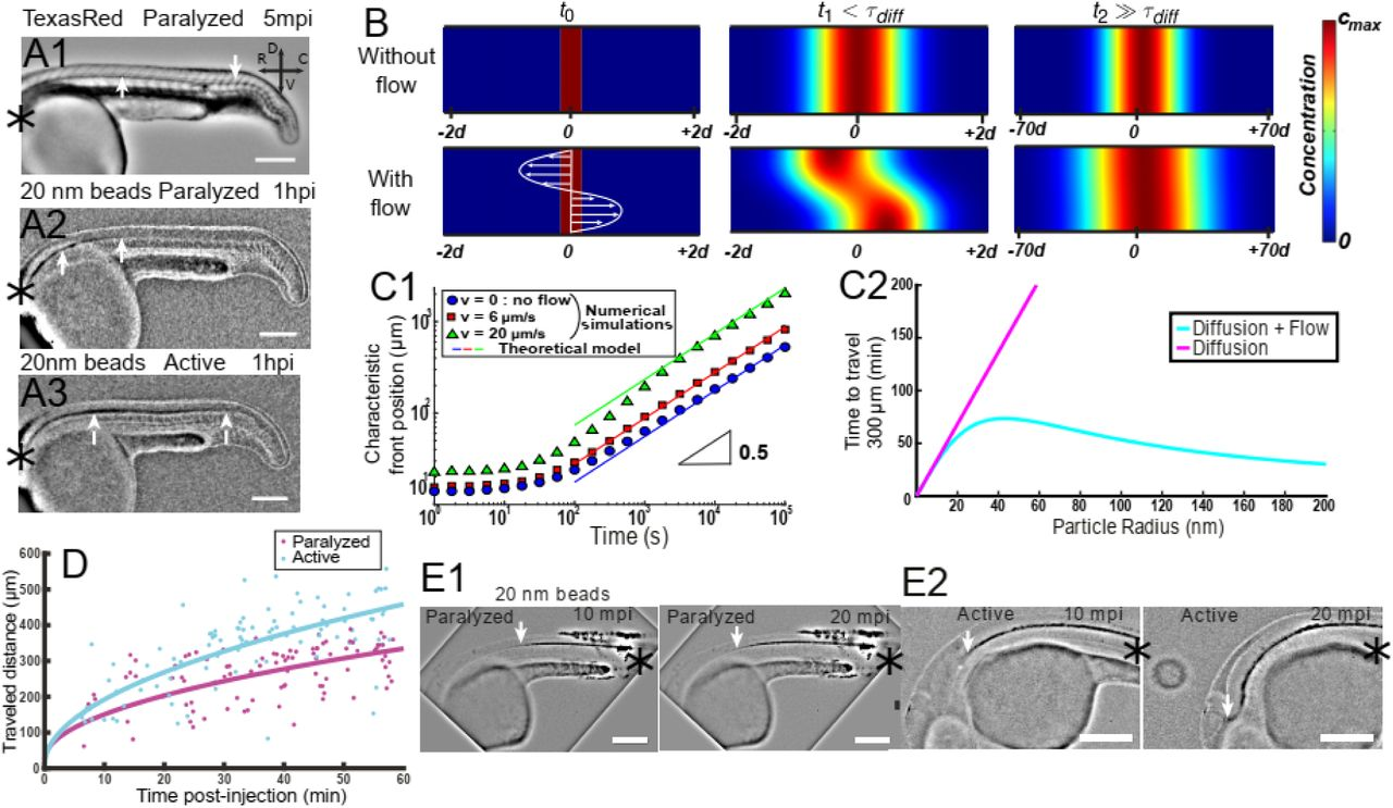 Origin of the bidirectionality of cerebrospinal fluid flow