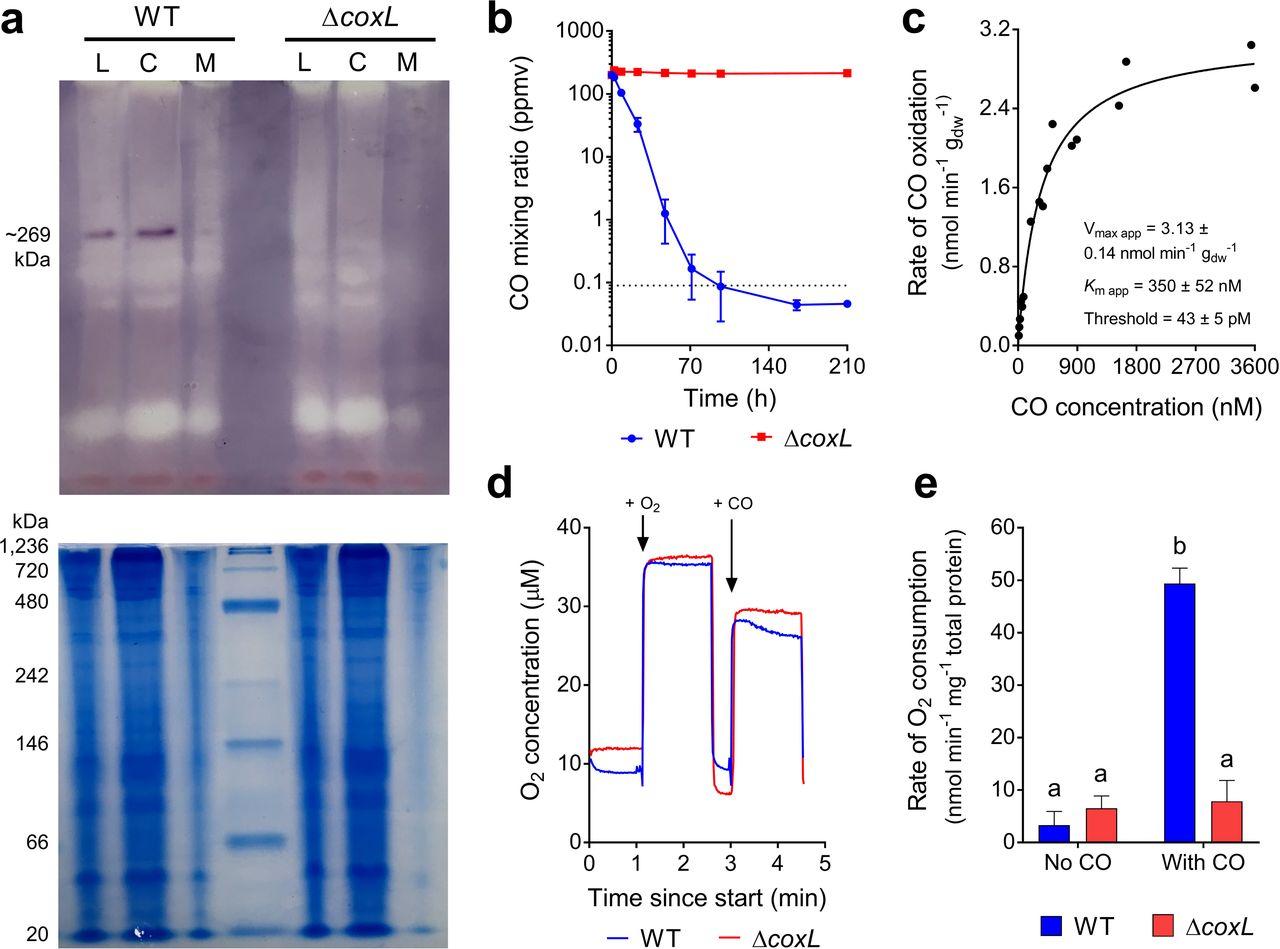 Carbon monoxide dehydrogenases enhance bacterial survival by