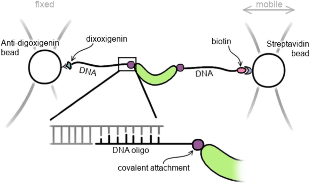 Bioorthogonal protein-DNA conjugation methods for force spectroscopy