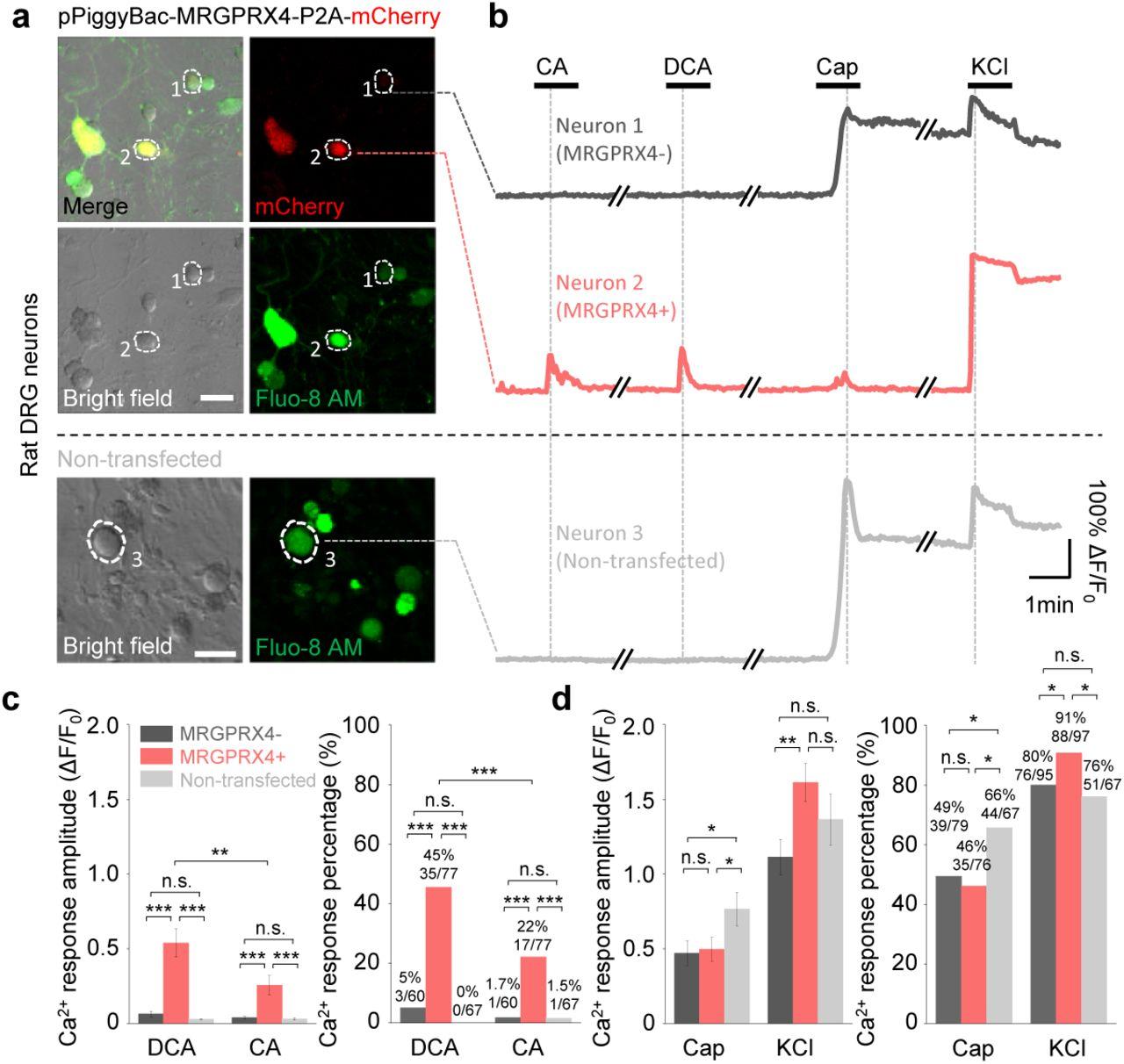 MRGPRX4 is a novel bile acid receptor in cholestatic itch