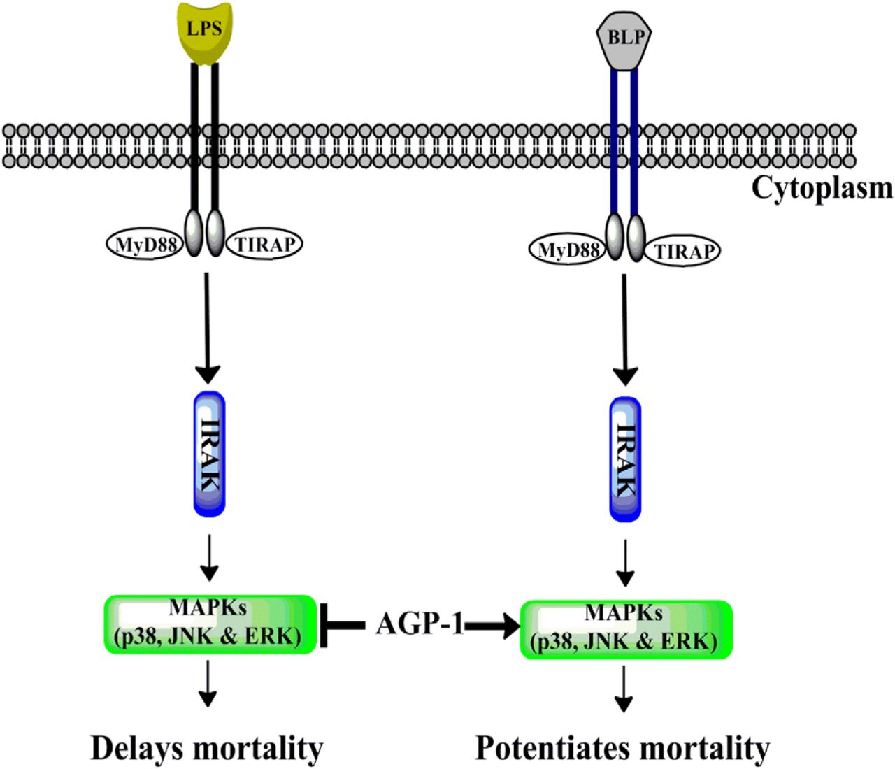 Schematic representation of selective inhibition of MAPKs by AGP-1 induced by LPS but not BLP AGP-1 selectively inhibits p-38, JNK and ERK MAPKs induced by TLR-4 activation thereby delaying the mortality. However, AGP-1 had no significant effect on the TLR-2 induced MAPK activation but potentiated the BLP mediated mortality.