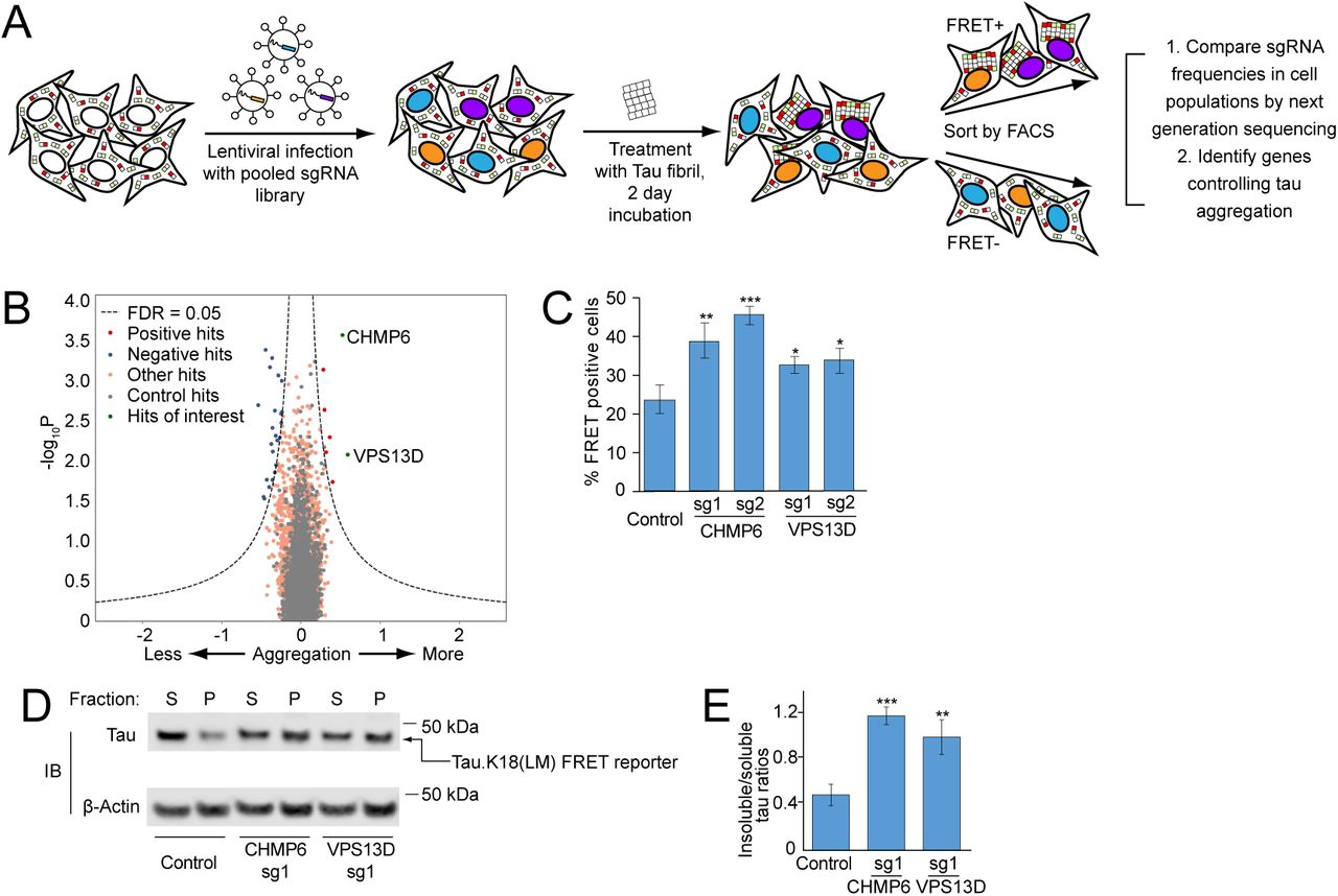 Compromised function of an ESCRT complex promotes