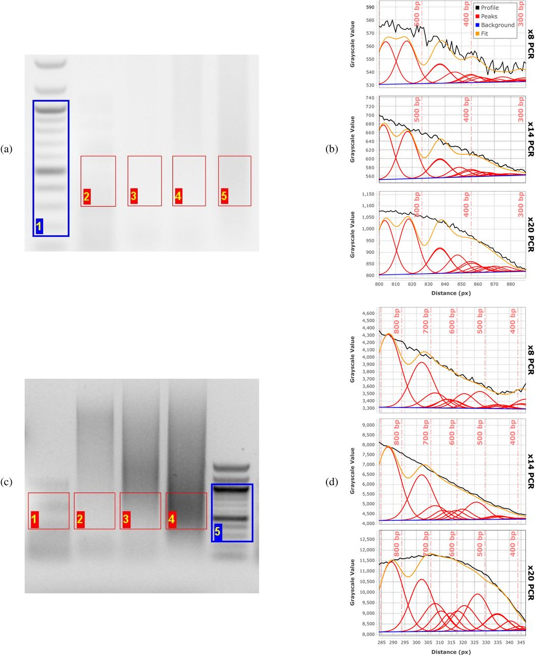 Agarose-gel analysis of tagmentation products of phage- λ DNA analyzed on (a) high-resolution and (c) low-resolution ( i.e ., mini) agarose gels. Size-distribution fits for the high-resolution gel (b) and mini gel (d) of the same tagmented λ -DNA sample subjected to increasing numbers of PCR-amplification cycles (lanes 3-5 in (a), lanes 2-4 in (c)): 8 cycles (top plots), 14 cycles (middle plots), and 20 cycles (bottom plots) in both (b) and (d). Vertical dashed lines (light red in (b), (d)) give the positions of maxima in the discrete molecular-weight ladder (blue ROI in (b), (b)).