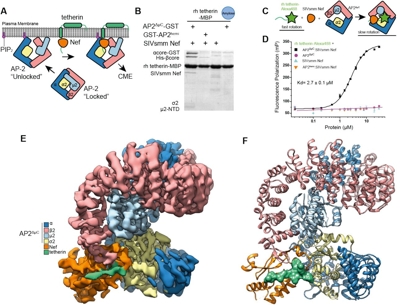 Structural basis for tetherin antagonism as a barrier to