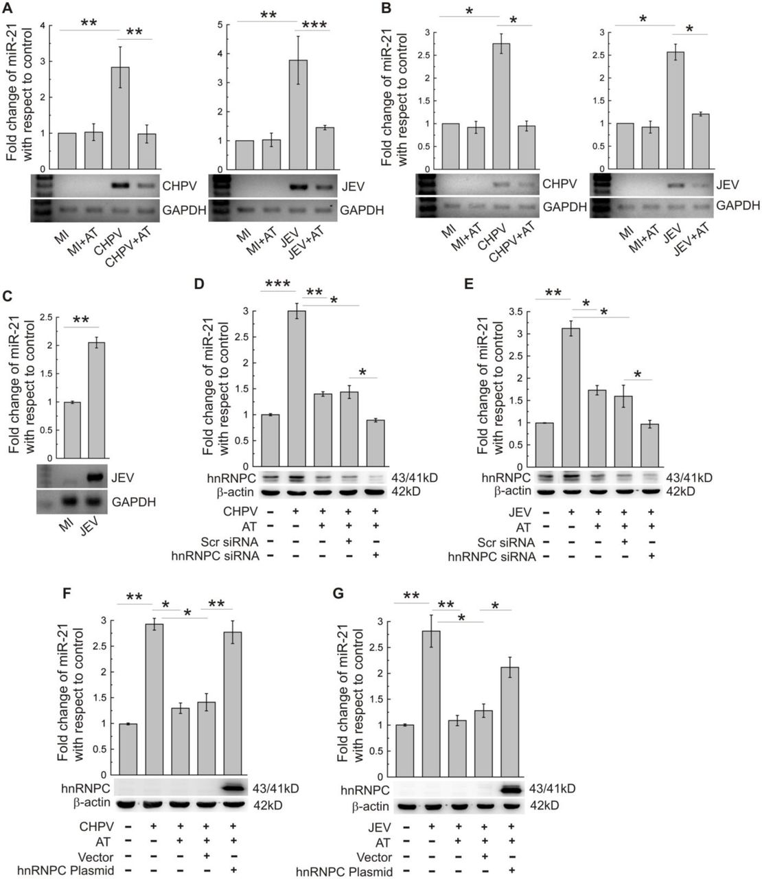Atorvastatin suppresses virus-induced miR-21 expression through hnRNPC. (A) BALB/c mice were treated with PBS (MI), PBS with atorvastatin (MI+AT), infected with CHPV (CHPV) and CHPV-infected along with atorvastatin treatment (CHPV+AT). Following 3 days post infection, brain samples were collected and miR-21 abundance was analyzed using qRT-PCR. In another similar set of experiments, infection was performed by JEV followed by collection of brain samples at day-7 after infection and miR-21 expression was analyzed by qRT-PCR. In order to assess level of viral propagation, presence of CHPV or JEV RNA was determined by RT-PCR (lower panels). GAPDH expression was verified as loading control. ** P