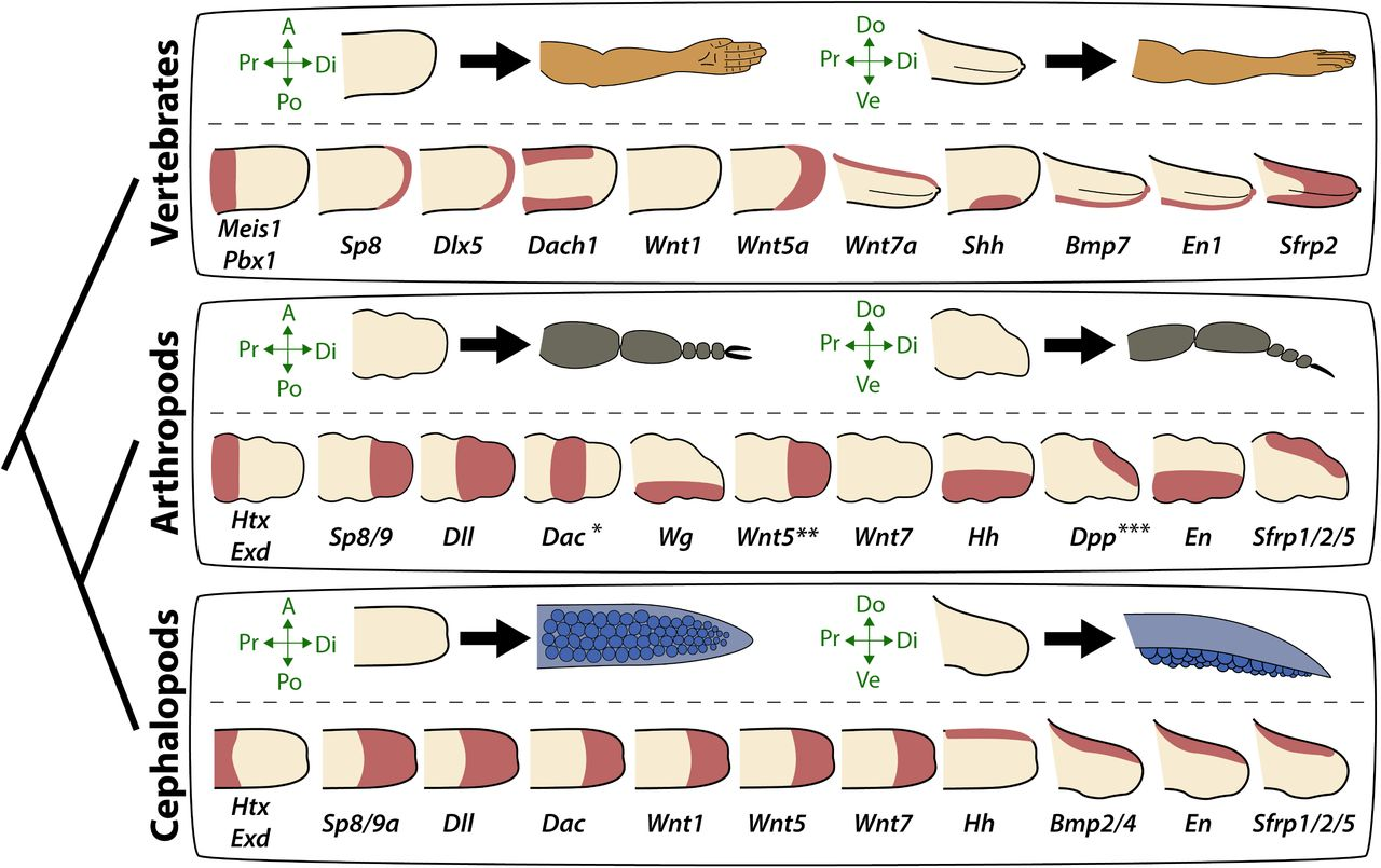 Evolution of limb development in cephalopod mollusks | bioRxiv