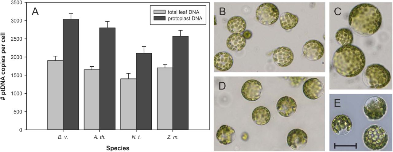 Chloroplast nucleoids are highly dynamic in ploidy, number