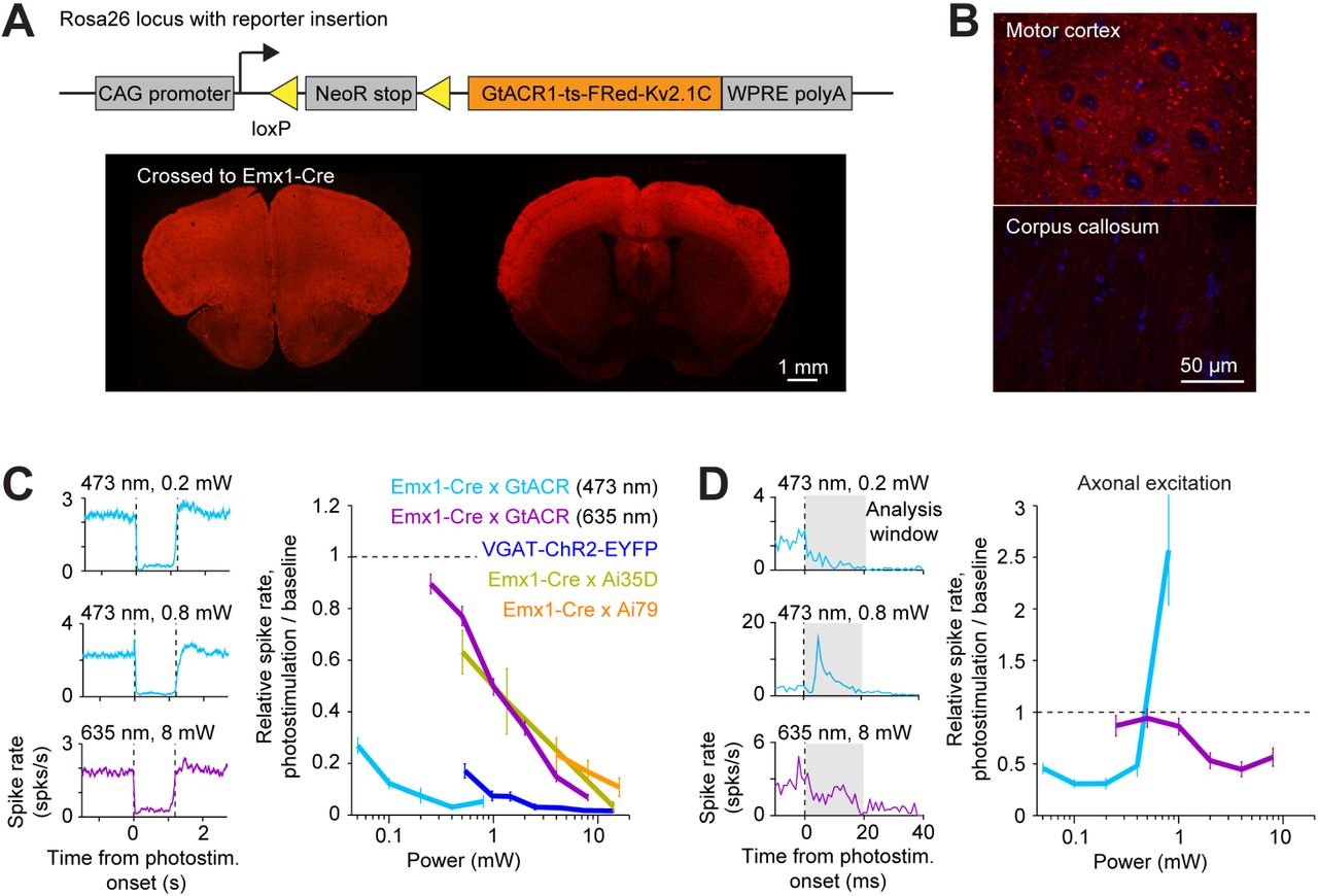 Spatiotemporal limits of optogenetic manipulations in