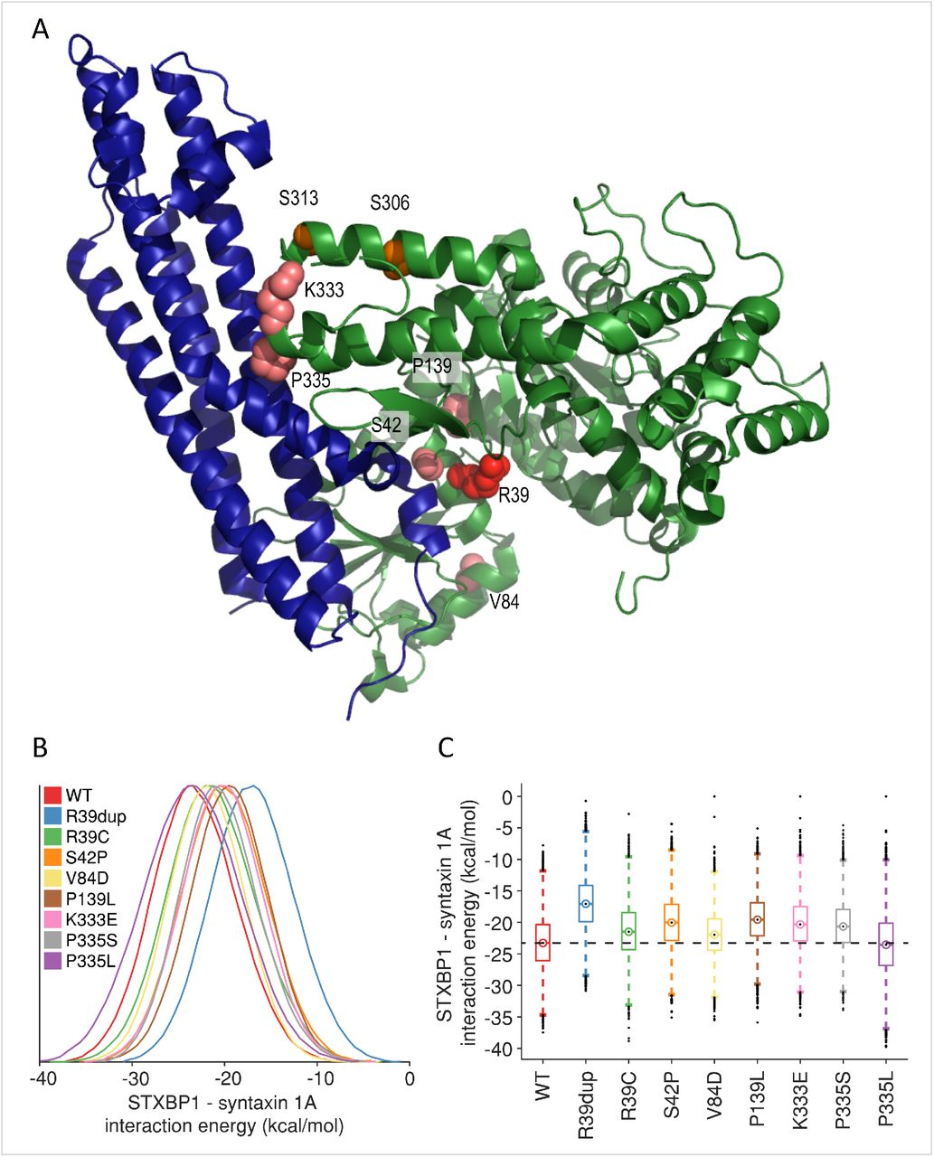 Structural analysis of de novo STXBP1 mutation in complex with