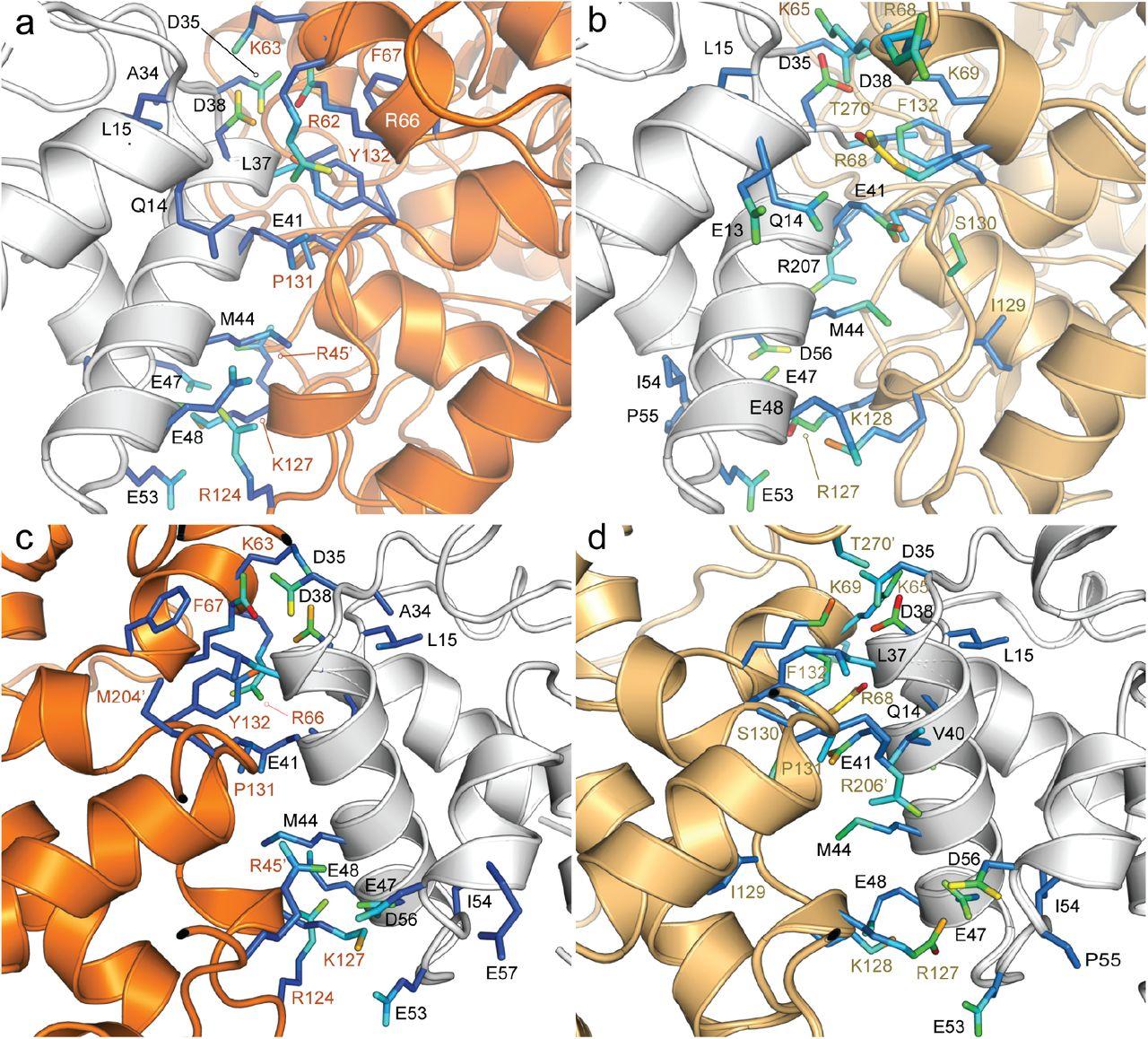 Gating Mechanism of β-Ketoacyl-ACP Synthases | bioRxiv