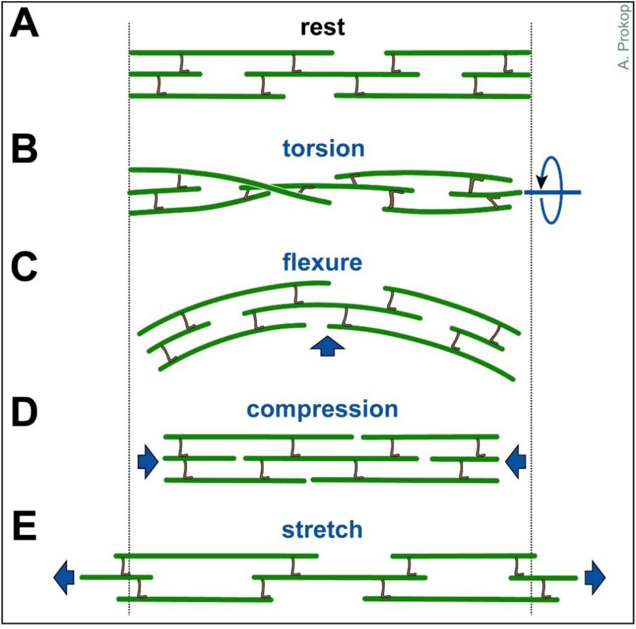 The model of local axon homeostasis - explaining the role