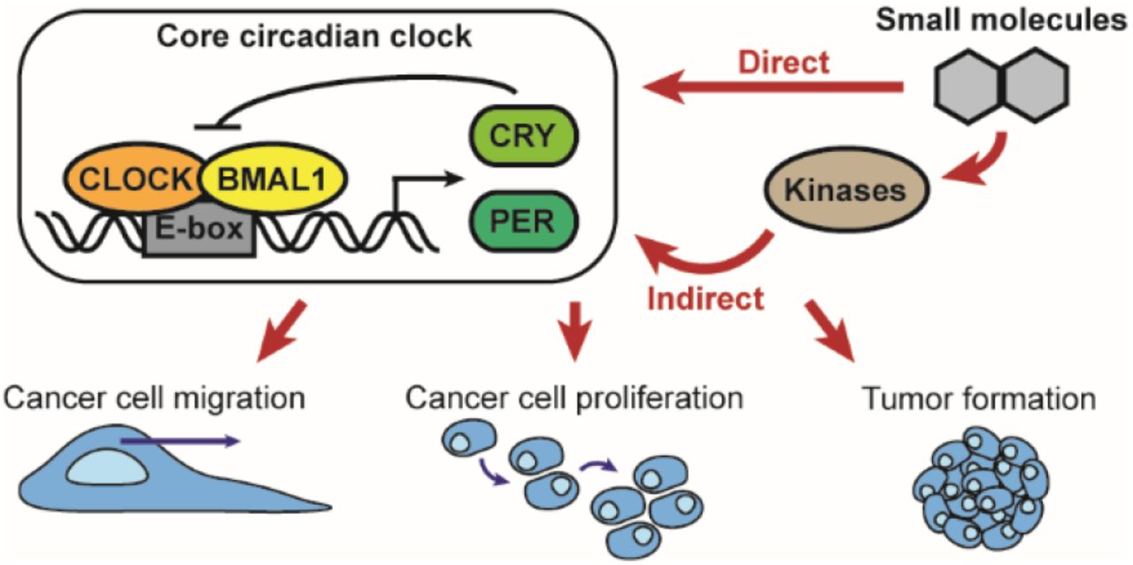 Oncogenic And Circadian Effects Of Small Molecules Directly