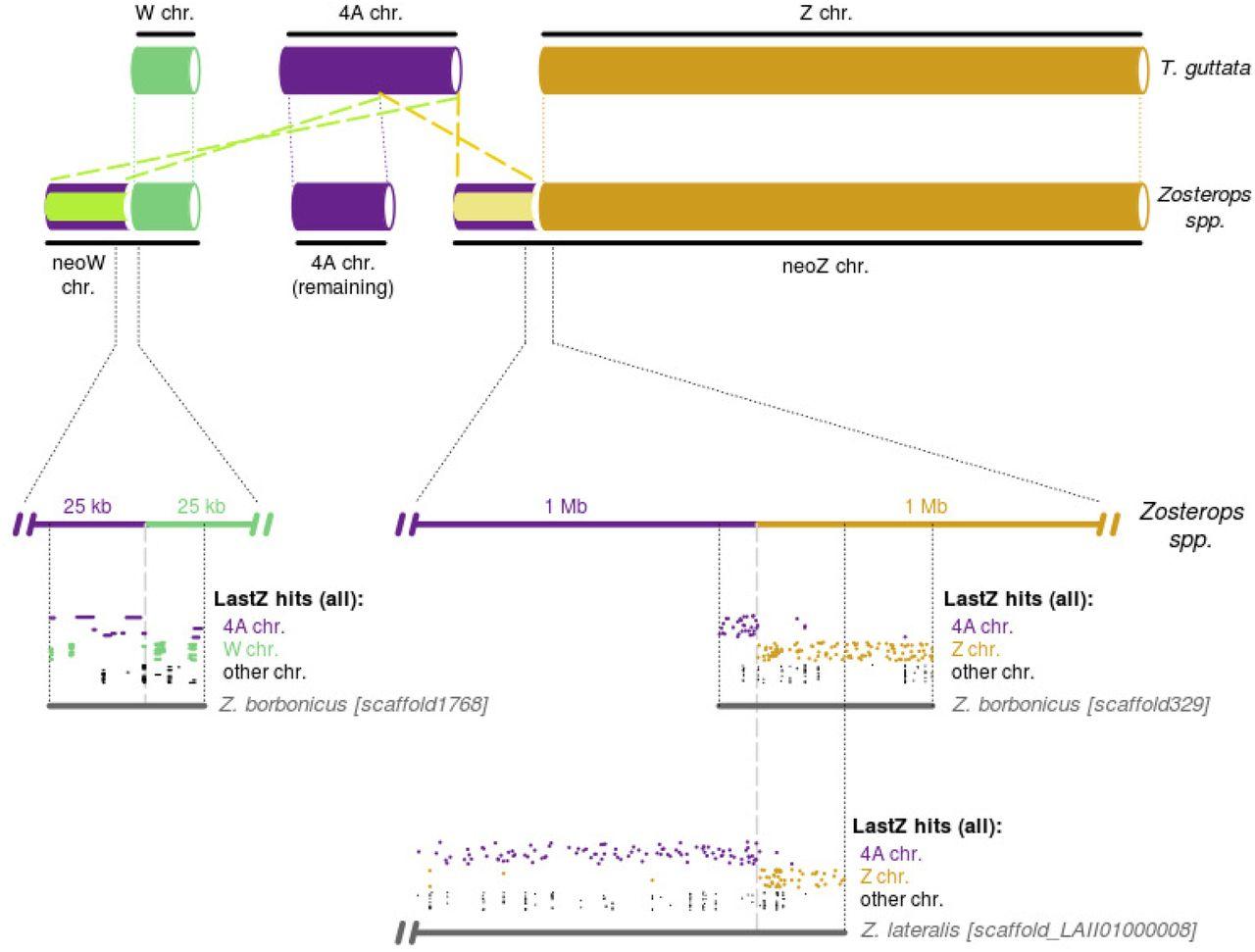 A bird's white-eye view on neosex chromosome evolution | bioRxiv