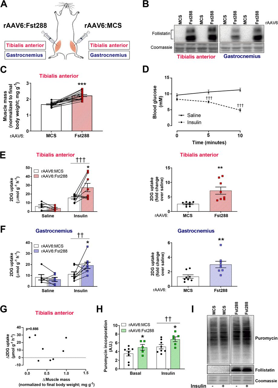 Mechanisms involved in follistatin-induced hypertrophy and increased