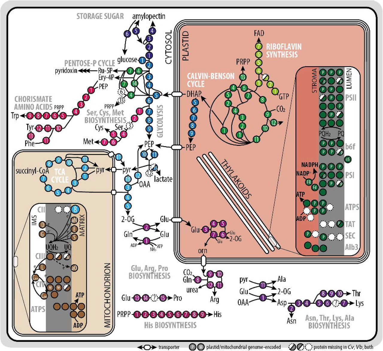 Subcellular compartments interplay for carbon and nitrogen