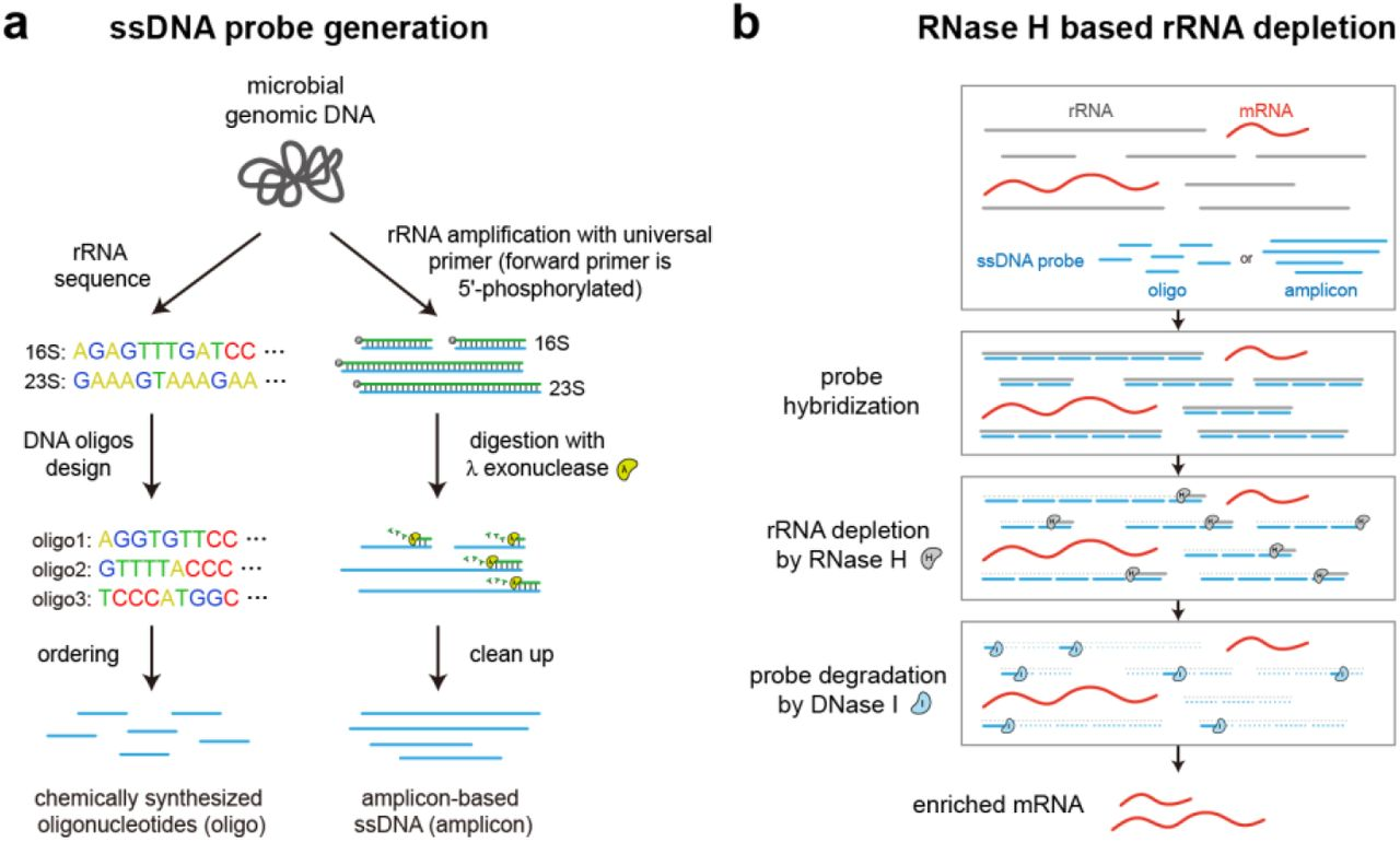Workflow for bacterial RNase H based rRNA depletion. a) Probes used for depletion can be either designed and chemically synthesized from known rRNA sequences (oligo-based) or generated by PCR from genomic DNA with 5'-phosphorylated forward primers and subsequent lambda exonuclease digestion (amplicon-based). b) Probes are then hybridized to total RNA and the rRNA bound by the ssDNA probes is degraded by RNase H. Finally, all remaining probes are degraded by DNase I or removed by SPRI beads-based size selection, resulting in enriched mRNAs.