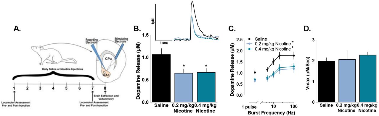 Phasic Dopamine Release Magnitude Tracks Individual Differences in