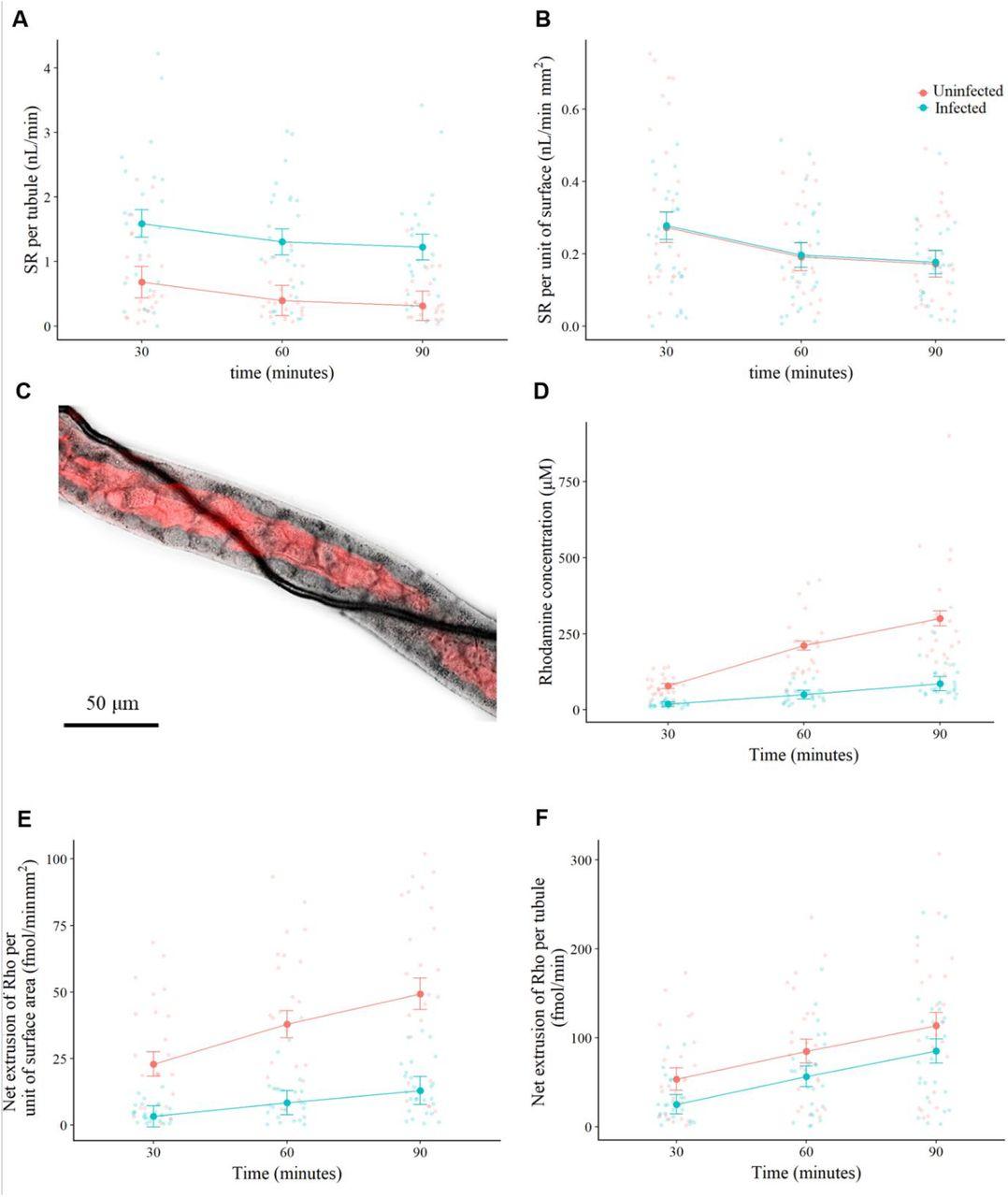 Malpighamoeba infection compromises fluid secretion and P