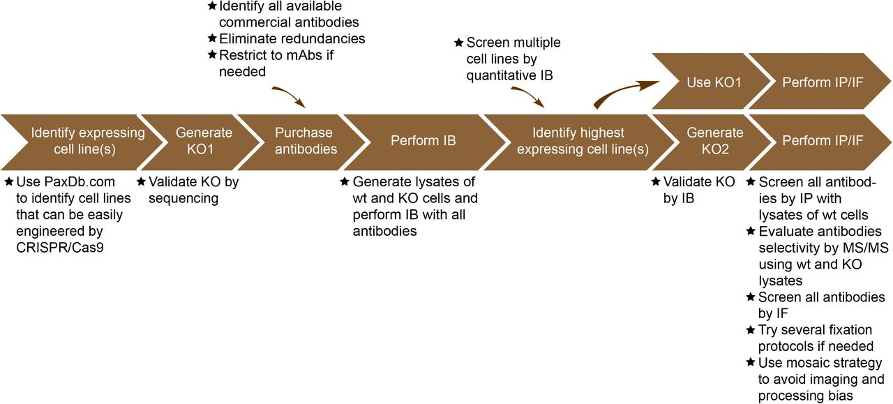 Implementation of an antibody validation procedure