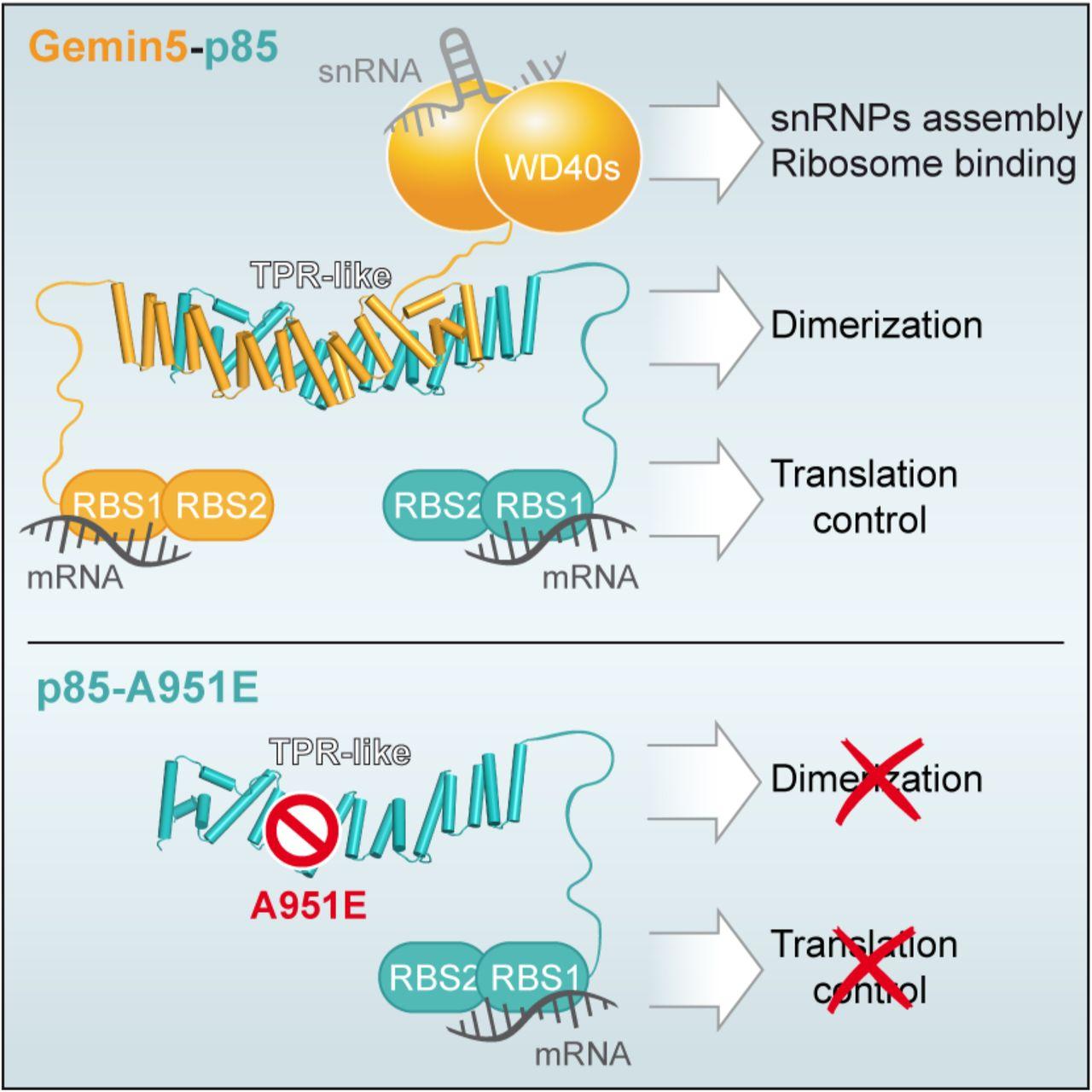 A novel dimerization module in Gemin5 is critical for