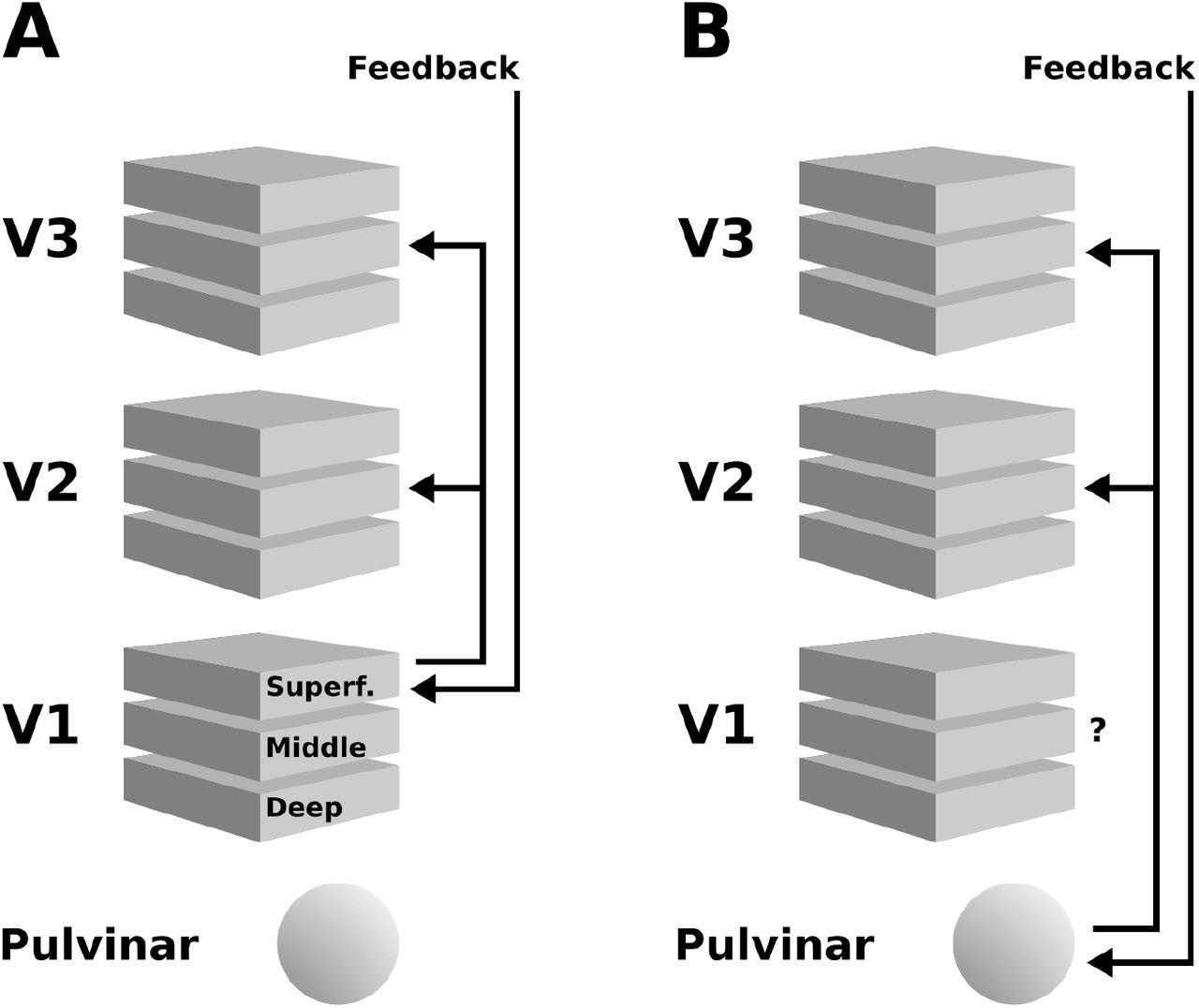 Depth-resolved ultra-high field fMRI reveals feedback