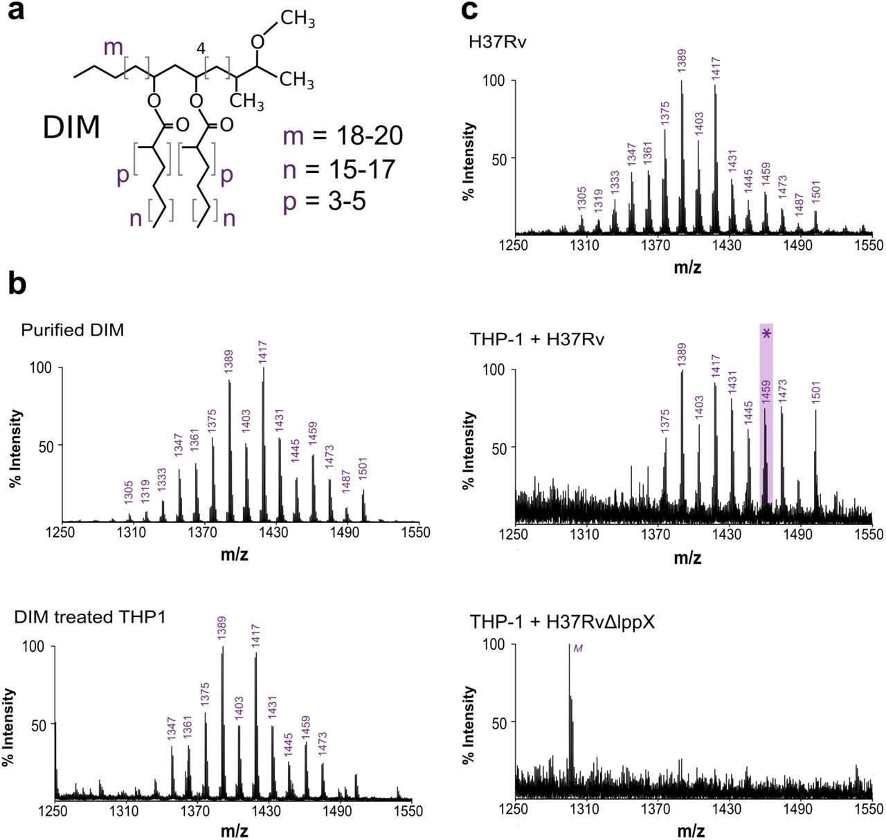 The conical shape of DIM lipids promotes Mycobacterium tuberculosis