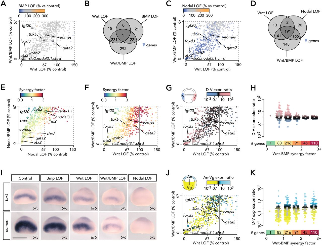 The Spatio-Temporal Control of Zygotic Genome Activation | bioRxiv