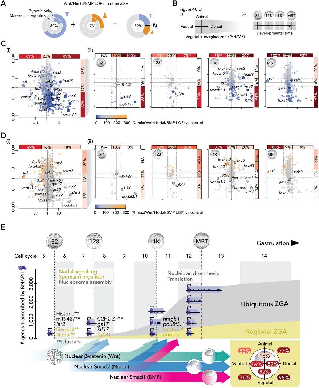 The Spatio-Temporal Control of Zygotic Genome Activation