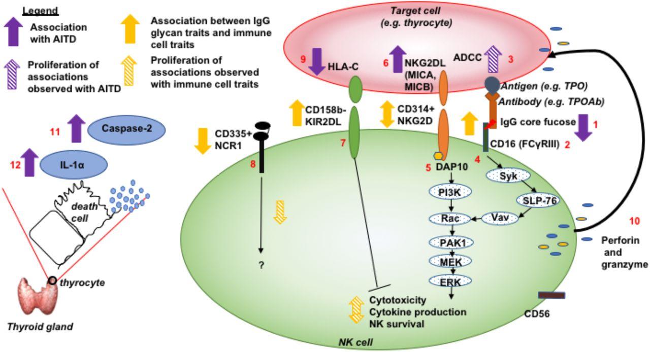 Multi-omic analyses reveal antibody-dependent natural killer