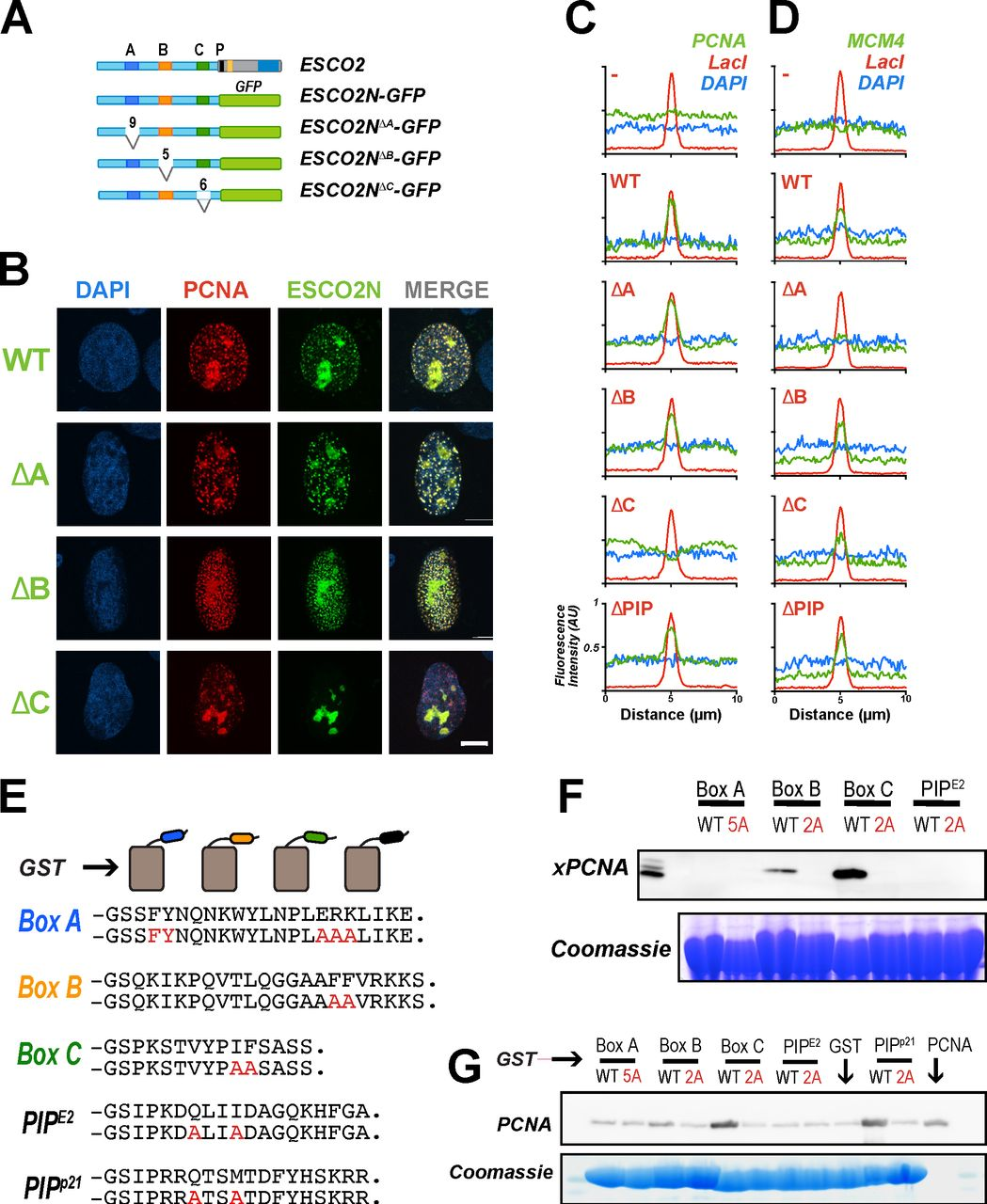 PCNA interacts with ESCO2 motifs in vivo and in vitro . A. ESCO2N-GFP fusions . A cartoon depicting constructs in which the N terminal 375 a.a. of ESCO2 are fused directly to eGFP. Motifs A, B, and C were deleted independently, as shown; numbers indicate the number of amino acids deleted (not drawn to scale). B. Localization to replication foci . Confocal images of U2OS cells co-transfected with Ruby-PCNA and the GFP-fusion constructs. Colocalization is indicated in yellow in the merge image, as in Figure 2 . C. Box C is critical for PCNA recruitment by tethered ESCO2 . mCherry-lacI-ESCO2 (full-length) fusions with the deletions indicated in panel A were co-expressed with GFP-tagged PCNA as in Figure 2 , and the colocalization at nuclear foci was scored by fluorescence intensity profile analysis as in Figure 2 . D. MCM4 recruitment to tethered ESCO2 is dependent upon Box A . The experiment in Panel C was repeated, only in this case the ESCO2 constructs were co-expressed with mEmerald-MCM4. Recruitment to tethered ESCO2 was scored as in Figure 2 . E. Pull down assay using GST fusion proteins . Short peptide sequences including Box A, Box B, Box C, or the ESCO2 PIP box motifs were expressed as GST-fusion proteins. A parallel set was made in which alanine substitutions were made at the invariant amino acids (shown in red). The PIP-box from p21 was used as a positive control. F. Co-precipitation from cell free extracts . GST fusion proteins shown in panel A were mixed with Xenopus egg extract and incubated with glutathione sepharose beads. The beads were washed and bound proteins were eluted and probed for PCNA by immunoblot. A duplicate gel was stained with Coomassie dye to detect the GST fusion proteins. G. Co-precipitation of purified proteins . The indicated GST fusion proteins (panel E) were mixed with purified recombinant PCNA, pulled down with glutathione agarose beads and analyzed as in F for PCNA.
