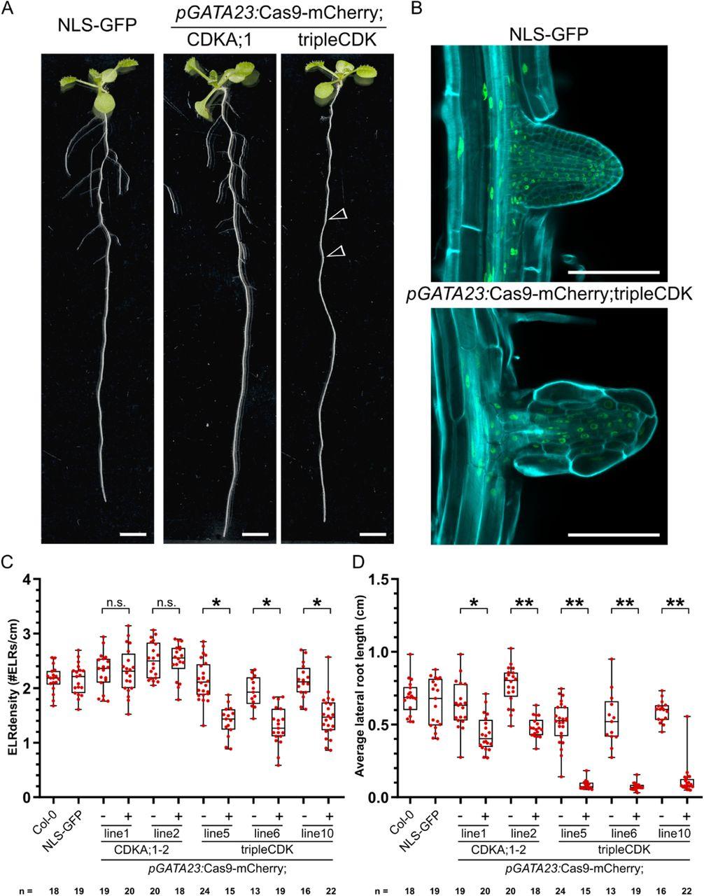 CRISPR-TSKO facilitates efficient cell type-, tissue-, or organ