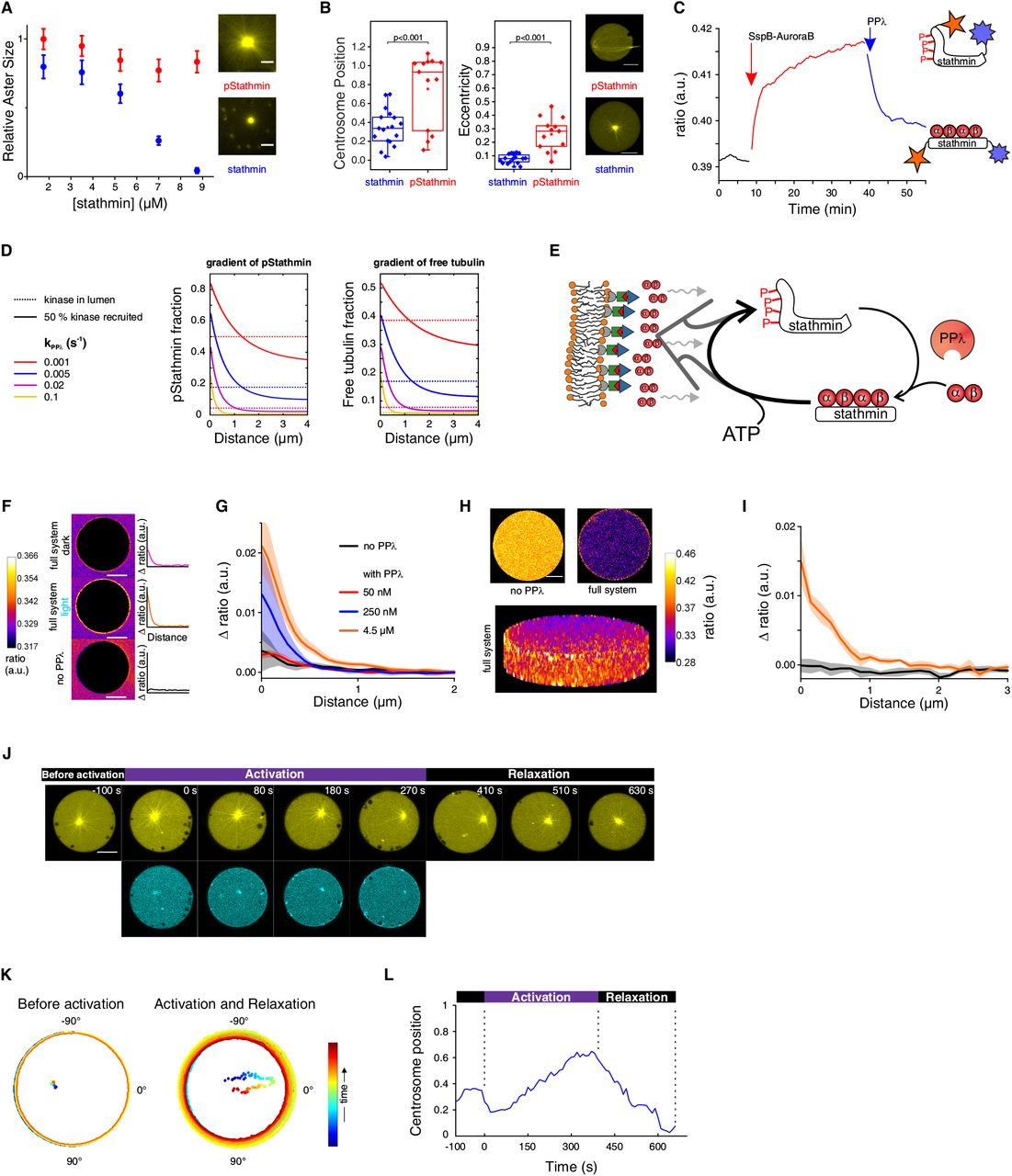 A synthetic morphogenic membrane system that responds with
