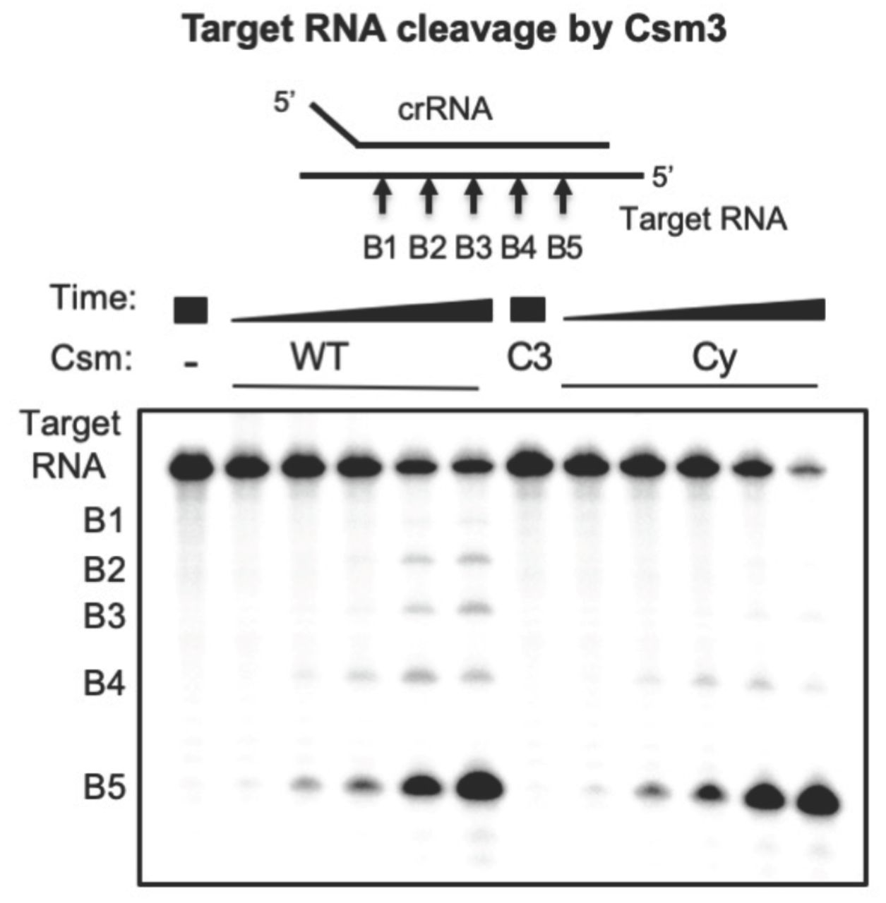 Target <t>RNA</t> cleavage by the <t>Csm</t> complex. Wild-type (WT), Csm3 D35A variant (C3), or cyclase variant (Cy) Csm were incubated with 5'- 32 P-target RNA under single-turnover conditions for 0.5, 2, 5, 30, 90 min and analysed by denaturing PAGE.