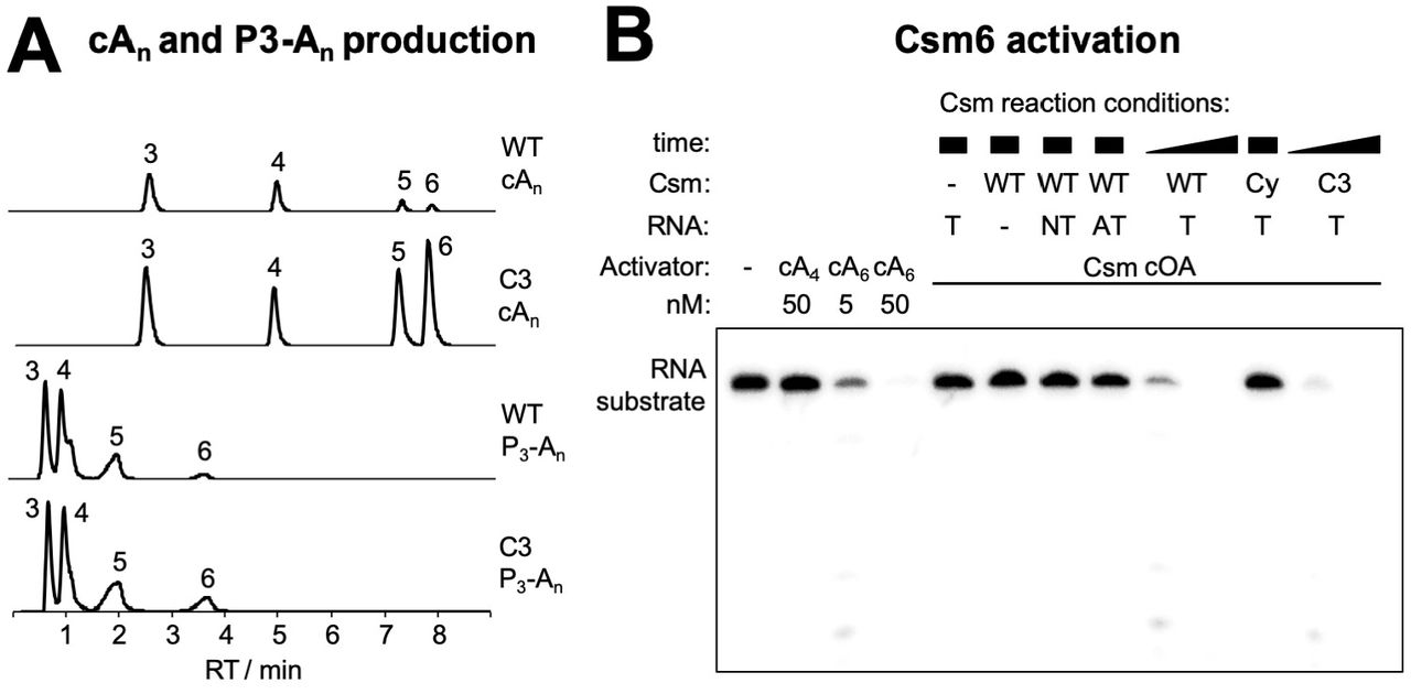 cOA production and Csm6 activation ( A ) Extracted ion chromatograms of oligoadenylates produced by wild type (WT) and Csm3 D35A variant (C3) Csm complex. Identical y -scaling throughout. The identity of the cyclic OAs (cA n ) and respective 5'-triphosphates (P 3 -A n ) is indicated by the number of AMP subunits. Production of cOAs, cA 5 and cA 6 in particular, was significantly increased for the Csm3 D35A (C3) Csm complex. ( B ) Csm6 ribonuclease activation by cyclic oligoadenylates. Mtb Csm6 (125 nM) was incubated with 200 nM 5'-[ 32 P]-substrate RNA at 37 °C for 30 min in the presence of synthetic oligoadenylates (cA 4 , cA 6 ) or a 10-fold dilution of Csm-derived cOAs. Csm wild-type (WT, 800 nM), cyclase variant (Cy, 800 nM), or Csm3 D35A (C3, 200 nM) was incubated with 1 mM ATP and 200 nM target (T), non-target (NT), or anti-tag (AT) RNA for 0.5, 2 (WT, C3), or 90 min (all others) at 30 °C. Only cA 6 activated Csm6. For WT and C3 Csm, sufficient cA 6 was produced within 0.5 min to switch on Csm6 ribonuclease activity; whereas no detectable amount of cA 6 was produced under all other conditions even after prolonged reaction time.