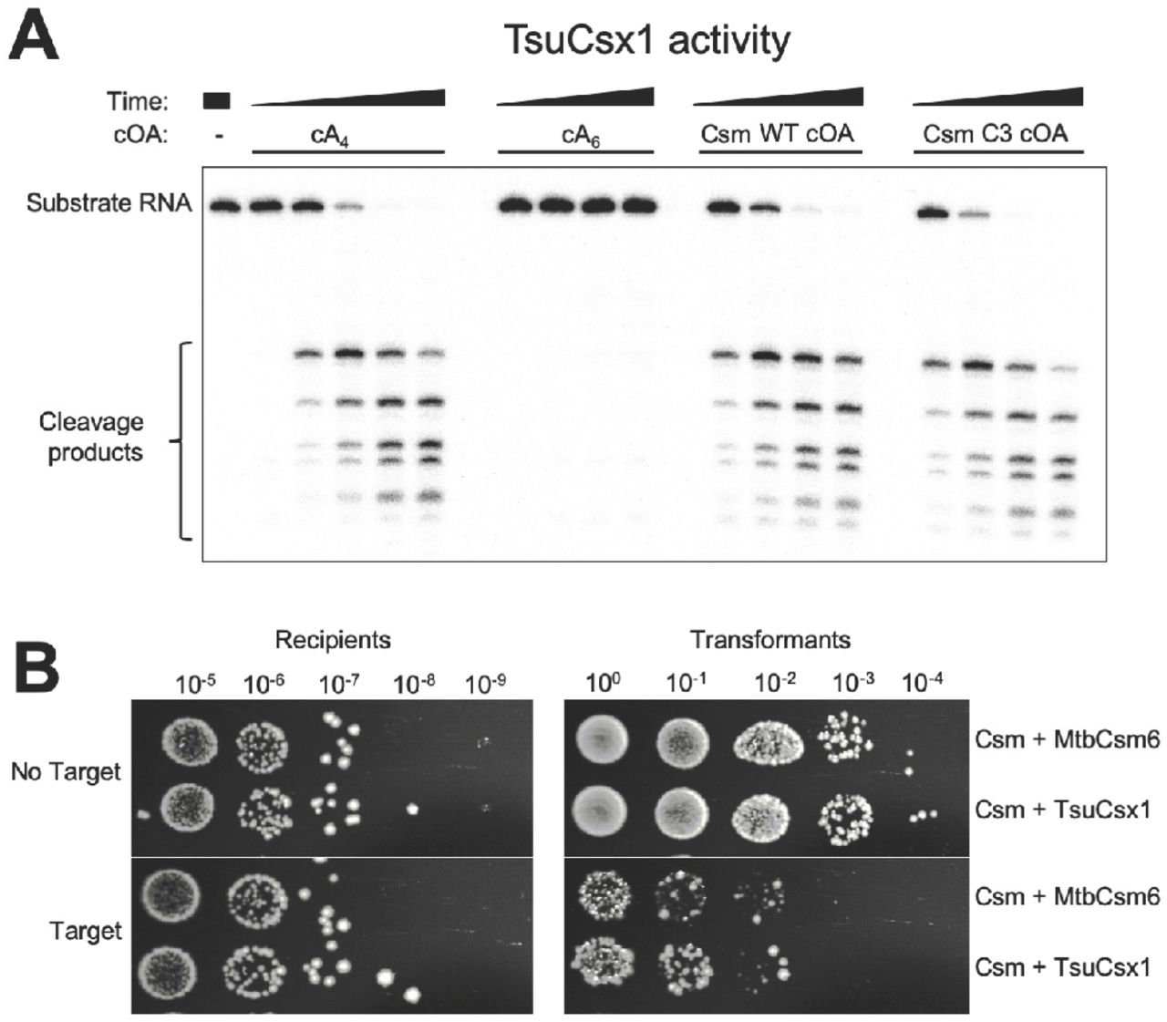 Re-programming the Mtb Csm system for cA 4 -responsive immunity. ( A ) In vitro activity of TsuCsx1. The reaction contained 0.5 µM TsuCsx1 dimer, 100 nM 5'- 32 P-labeled RNA A1, 20 mM Tris, 150 mM NaCl, 1 mM DTT, pH 7.5 and was conducted at 35 °C for 1, 5, 15, 30 min. Activators were added as indicated; Csm-derived cOAs were from a 2 h reaction, otherwise as described for Figure 3 . TsuCsx1 was activated by cA 4 but not cA 6 , and Csm-derived cOAs are able to induce Csx1 ribonuclease activity in vitro . ( B ) Plasmid immunity assay using pUC19 lacZα -targeting Csm effector complex in E. coli C43 (pCsm1-5_Csm6/tsuCsx1 and pCRISPR, Figure S4 ). The ribonuclease was either the cognate Csm6 or TsuCsx1. Cells were transformed with pRAT (control plasmid) or pRAT-Target (target plasmid) and 10-fold serial dilutions were plated on selective plates containing arabinose for induction of target transcription. TsuCsx1 confers the same level of plasmid immunity as the cognate Mtb Csm6.