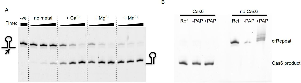 The Cas6 ribonuclease cleaves the Mtb CRISPR repeat sequence to generate crRNA. ( A ) Cas6 (0.5 µM) was incubated with 50 nM 5'-FAM CRISPR repeat RNA at 37 °C for 5, 15, 45 min in 20 mM Tris, 100 mM potassium glutamate, pH 7.5 in the absence or presence of 5 mM divalent metal ions as indicated. Reactions were stopped by phenol-chloroform extraction. ( B ) Cas6 cleavage leaves a 3'-(cyclic) phosphate group. CRISPR repeat RNA (crRepeat, 5'-FAM labeled, 400 nM) was digested with 2 µM Cas6 for 1 h in the presence of Mg 2+ using the same reaction conditions as before. Phenol-chloroform followed by chloroform extraction provided the substrate for the E. coli Poly(A) polymerase (PAP, New England Biolabs) reaction. Polyadenylation was performed according to the manufacturer's instructions. In a parallel experiment, Cas6 was omitted. The CRISPR repeat RNA but not the Cas6 product can be 3'-polyadenylated by PAP. This suggests that the reaction product has a cyclic 2',3'-phosphate, as observed for other Cas6 enzymes. This observation, together with the observation that calcium supports enhanced cleavage of the CRISPR repeat, suggests that the metal ion does not participate directly in catalysis but rather plays a role in stabilisation of the RNA substrate or RNA:protein complex.