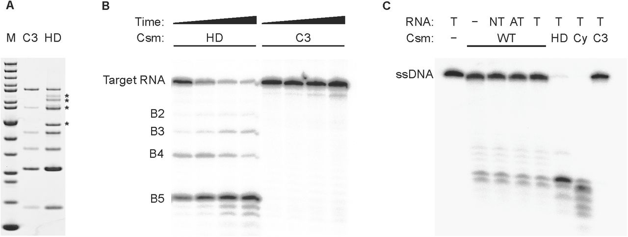 In vitro analysis of Csm HD mutant. ( A ) SDS-PAGE of purified Csm3 D35A (C3) and Cas10 H18A/D19A (HD) variant interference complexes; *: contaminants; M: PageRuler Unstained (Fisher Scientific). ( B ) Target RNA backbone cleavage by Csm3 D35A (C3) and Cas10 H18A/D19A (HD) variant interference complexes; 5'-radiolabeled target RNA was incubated with HD or C3 in the presence of Mg 2+ for 5, 10, 30, 60 min at 30 °C; as expected the characteristic cleavage products B2 – B5 are produced by HD but not the C3 variant. ( C ) The ssDNase activity of Csm interference complex is not dependent on RNA substrate or active site mutations; 5'-radiolabeled ssDNA was incubated with Csm wild type (WT), HD, Cas10 D630A/D631A (Cy), or Csm3 D35A (C3) in the presence of Mg 2+ for 90 min at 30 °C; cold RNA was added as indicated. Mn 2+ and Co 2+ also supported the observed activity, Zn 2+ less so, and Cu 2+ did not stimulate DNase activity (data not shown). T: target RNA, NT: non-target RNA, AT: anti-tag RNA.