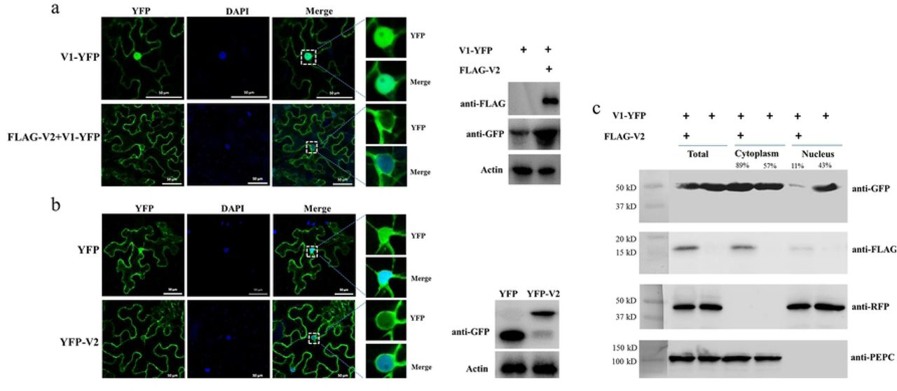 The effect of V2 protein on the nuclear distribution of V1 protein. (a) The localization of V1 protein in the absence or presence of V2 protein in N. benthamiana cells. V1-YFP was expressed in the absence or presence of FLAG-V2 and was detected either by confocal microscopy (left panel) or by Western blotting using an anti-GFP polyclonal antibody (right panel). DAPI stains DNA in the nucleus. Actin serves as a control for equal loading of total lysates. Bars: 50 µm. (b) The localization of V2 in N. benthamiana cells. The expressed YFP or YFP-V2 in epidermal cells of N. benthamiana leaves was detected either by confocal microscopy (left panel) or by Western blotting using an anti-GFP polyclonal antibody (right panel). DAPI stains DNA in the nucleus. Bars: 50 µm. (c) Nuclear-cytoplasmic fractionation assay of the distribution of V1 protein in the absence or presence of FLAG-V2 in H2B-RFP transgenic N. benthamiana plants. Nuclei were purified from plant tissues expressing V1-YFP in the absence or presence of FLAG-V2 using percoll density gradient centrifugation. Western blot analysis was conducted with antibodies specific to the indicated proteins using an anti-GFP polyclonal antibody or an anti-FLAG monoclonal antibody. PEPC was used as a marker for the cytoplasmic fraction and H2B-RFP was used as a marker for the nuclear fraction. Protein signal intensity was measured by using Adobe Photoshop CS6, with the cytoplasm plus the nucleus levels totaling as 100%.