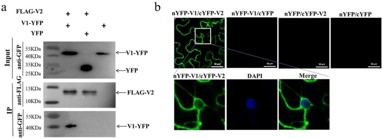 Identification of the interaction between V2 and V1 proteins. (a) Co-immunoprecipitation (Co-IP) analysis of the interaction between FLAG-V2 and V1-YFP. N. benthamiana leaves were co-infiltrated with A. tumefaciens cells harbouring expression vectors to express FLAG-V2 and V1-YFP (Lane 1), FLAG-V2 and YFP (Lane 2), or V1-YFP alone (Lane 3). Cell lysates were incubated with FLAG-trap beads (Sigma, USA). Samples before (Input) and after (IP) immunoprecipitation were analyzed by immunoblotting using anti-GFP or -FLAG antibody. (b) BiFC assays between V1 and V2 proteins in the leaves of N. benthamiana . Confocal imaging was performed at 48 hpi. V1 and V2 were fused to the N (nYFP) and C-terminal (cYFP) fragments of YFP, respectively. The V1-V2 interaction will lead to a reconstituted fluorescence signal. DAPI stains DNA in the nucleus. Bars: 50 µm.