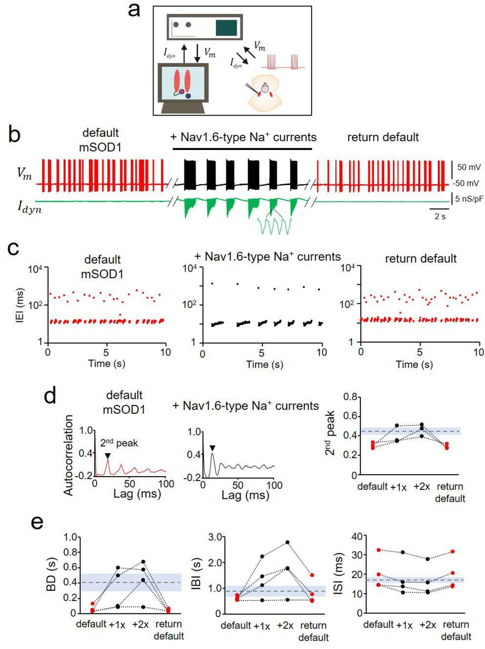 Rescue of Nav 1.6-type sodium currents in mSOD1 Mes V neurons using dynamic-clamp. a. Schematic shows the dynamic-clamp setup used to introduce conductance-based models of Nav1.6-type Na + currents into mSOD1 Mes V neurons in real-time during whole-cell patch-clamp recording; I dyn is the computer-generated model Na + current in combination with a step depolarization to drive the patched Mes V neuron; V m is the measured membrane voltage. b. Representative traces showing the membrane voltage in a bursting mSOD1 Mes V neuron with control/default behavior ( left red ), followed by addition of Nav1.6-type currents ( middle black ), that restores WT-like rhythmic bursting; subsequent removal of added currents returns default mSOD1 behavior ( right red ) in this neuron; Lower green trace shows I dyn . c. Time series plots of IEIs (log scale) for the three different conditions in ( b ); each dot represents an interval between two consecutive spikes (see detailed results). d. Autocorrelation function of the membrane voltage for default mSOD1 ( left ) and with addition of Nav1.6 currents (middle); the height of the 2 nd autocorrelation peak highlights rhythmicity (arrowhead); Right: measured 2 nd peak values for 4 mSOD1 cells are shown, with dashed horizontal line showing average WT values and shaded grey region indicates ±SD. e. Treatment effects on burst characteristics including burst duration (BD), inter-burst-intervals (IBI) and inter-spike-intervals within bursts (ISI) shown for various mSOD1 cells tested under the different conditions as in ( b ); dashed lines indicate average WT values with grey regions marking the ± s.d.