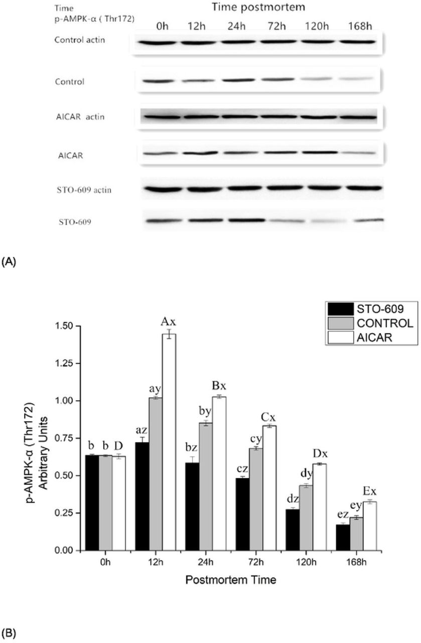 (A) Effects of yak LL muscle injection of AICAR and STO-609 on AMPK phosphorylation (Thr 172) in postmortem yak LL muscle. Representative immunoblots of AMPK phosphorylation and b-actin, and the relative band density of phospho-AMPK after normalizing to b-actin were shown. (B) Densitometric analysis of AMPK expression of bovine muscle during postmortem aging.