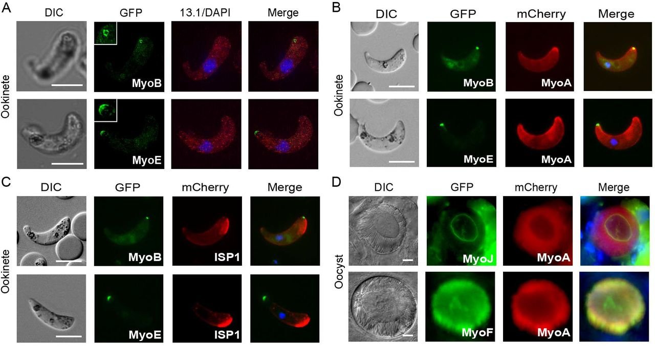 Co-localisation during the life cycle (A) MyoB-GFP and (B) MyoE-GFP localised by super-resolution microscopy of ookinetes. Shown are DIC image, GFP (green) with higher magnification inset, 13.1(red) and DAPI (blue), and merged image. (C) Co-localisation of MyoB-GFP or MyoE-GFP E with MyoA-mCherry or ISP1-mCherry in ookinetes using live cell imaging. Shown are: DIC image, GFP (green), mCherry (red) and merged image including <t>Hoechst</t> 33342 (blue). (D) Co-localisation of GFP-myosins J and F with mCherry-MyoA in oocysts. Shown are: DIC image, GFP (green), mCherry (red) and merged image including Hoechst 33342 (blue). Scale bar = 5 μm.