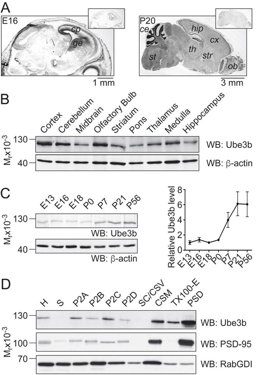 Ube3b knockout in mice results in growth retardation, failure to thrive and an overall smaller brain. Related to the entire paper. (A) Gene targeting strategy of murine Ube3b . The domain structure of Ube3b, wild type, and targeted Ube3b alleles are depicted. Exons, loxP sites, and FLP-recombinase target sites are symbolized as black rectangles, red triangles, and green rectangles, respectively. Exon 7 of Ube3b is flanked by two loxP sites. Mice positive for the recombined allele were crossed with FLP deleter animals to remove the lacZ/neomycin selection cassette, and further crossed to Cre-driver lines, leading to removal of exon 7 conditionally or conventionally. (B, C, D) Validation of Ube3b gene targeting. +/+ wild type, rec/+ indicates heterozygous recombined mutant. (B) The result of long-range PCR using primers depicted as blue arrows in A. Band of the predicted size was observed only using genomic <t>DNA</t> purified from rec/+ mutant as a template. (C) The result of multiplex PCR using primers depicted as pink arrows in A. PCR using genomic DNA from targeted ES cells yields two bands (left lane), and PCR using wild type ES cells genomic DNA as a template results in one band. (D) Southern blotting analysis of genomic DNA purified from targeted ES cells. Genomic DNA isolated from control and ES cells carrying 'Recombined' allele of Ube3b was digested with <t>SapI</t> enzyme. The probe is indicated as a green line in A. The band at 8.0 kb represents the wild type allele, and the band at 6.6 kb represents the mutant allele. (E) Gross morphology of Ube3b +/+ (left) and Ube3b -/- (right) mice at 20 days post birth. (F) Brains of Ube3b +/+ (left) and Ube3b -/- (right) mice isolated 20 days after birth. (G) Results of Western blotting using P7 brain lysates from Ube3b +/+ (left), Ube3b +/- (middle), and Ube3b -/- (right) animals with an antibody raised against HECT domain of Ube3b. MEM Code staining (lower panel) shows comparable amounts of total protein in all lan